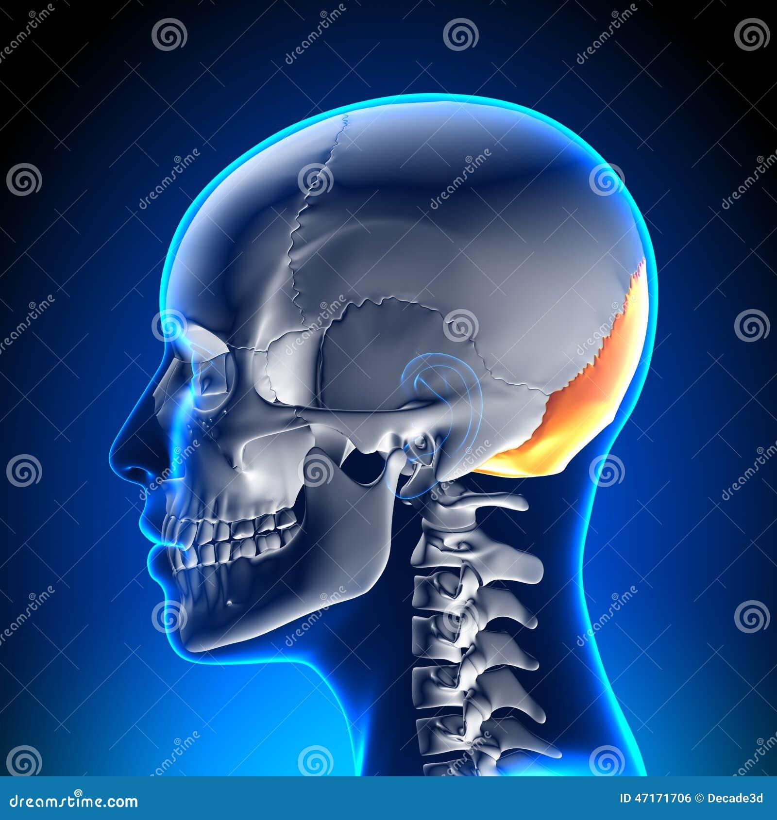 Cráneo/cráneo Femeninos - Hueso Occipital Stock de ilustración ...