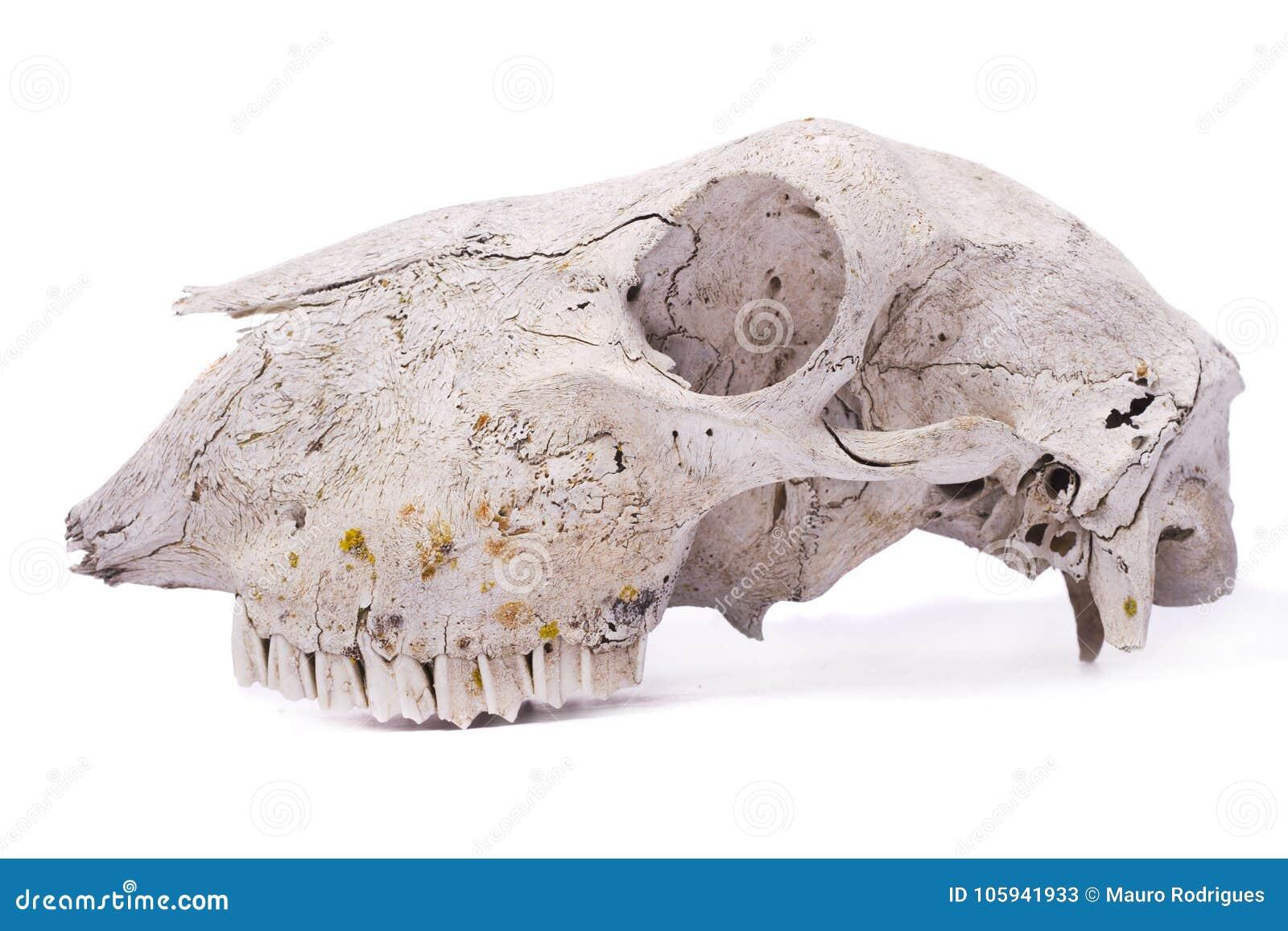 Cráneo de las ovejas imagen de archivo. Imagen de anatomía - 105941933