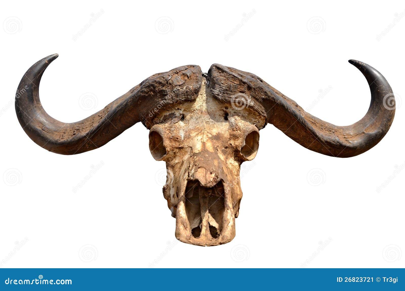 Cráneo Del Búfalo Africano Aislado En Blanco Stock de ilustración ...