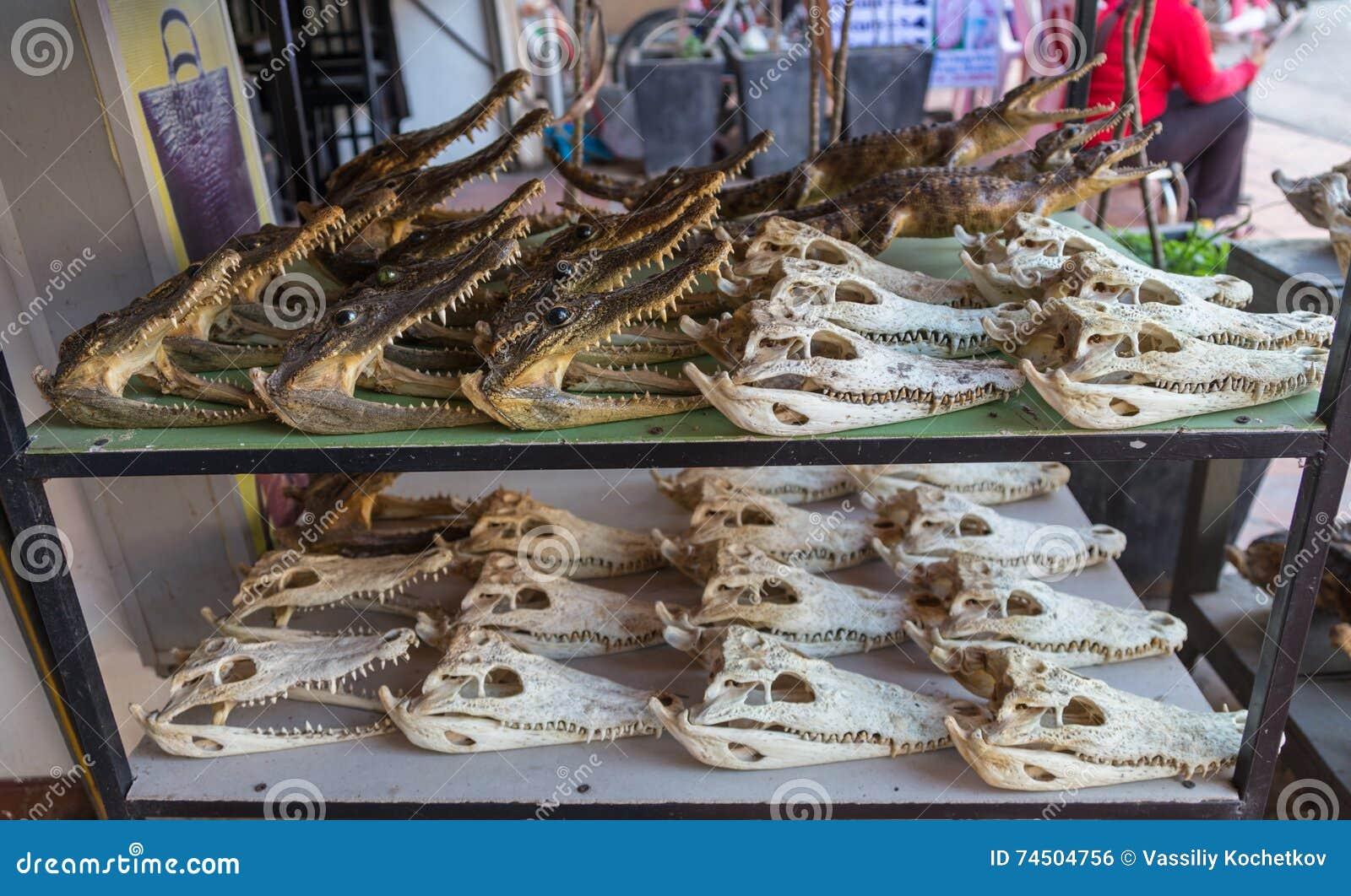 Cráneo Del Cocodrilo En Contador Foto de archivo - Imagen de ...