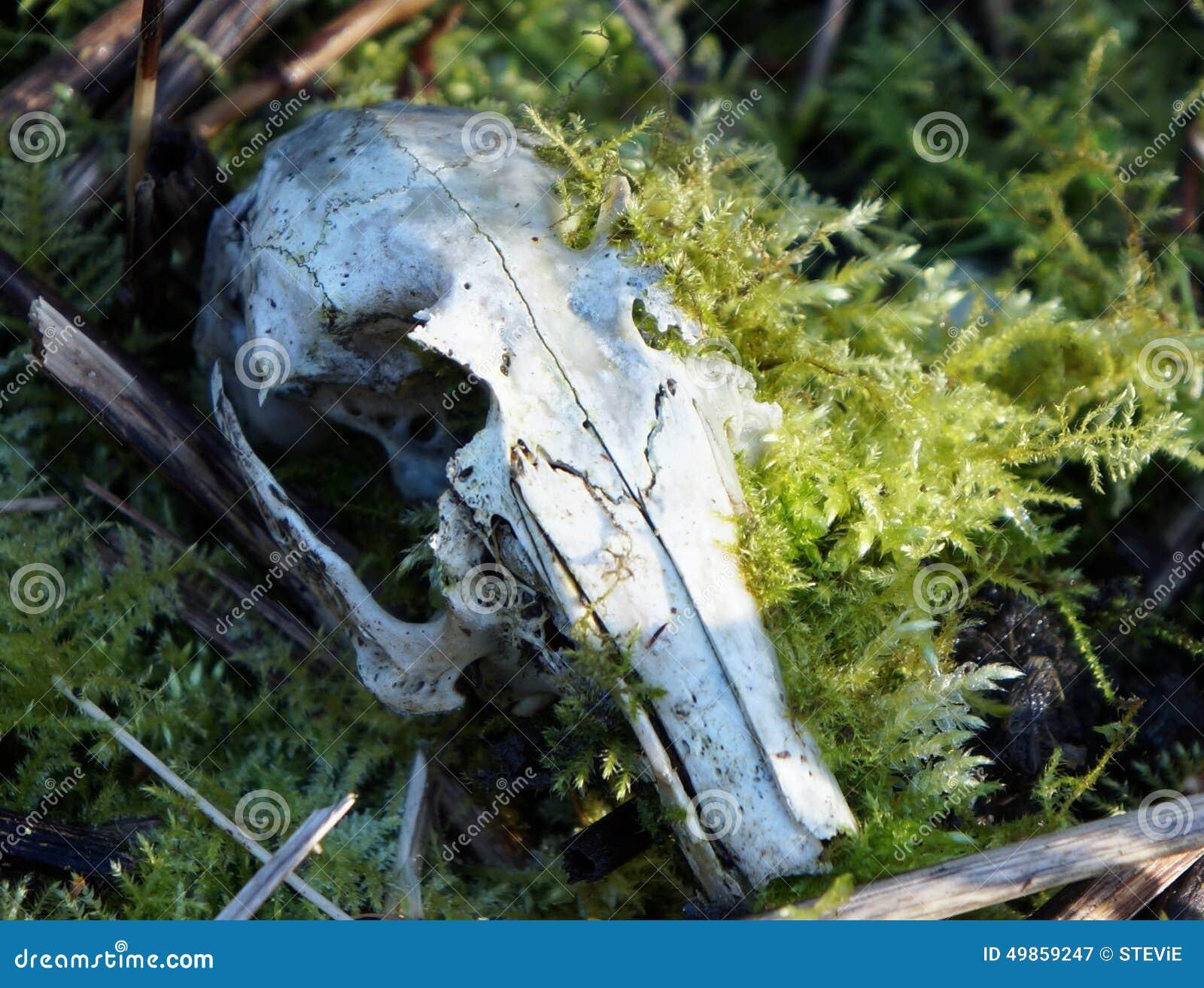 Cráneo del conejo invadido por el musgo