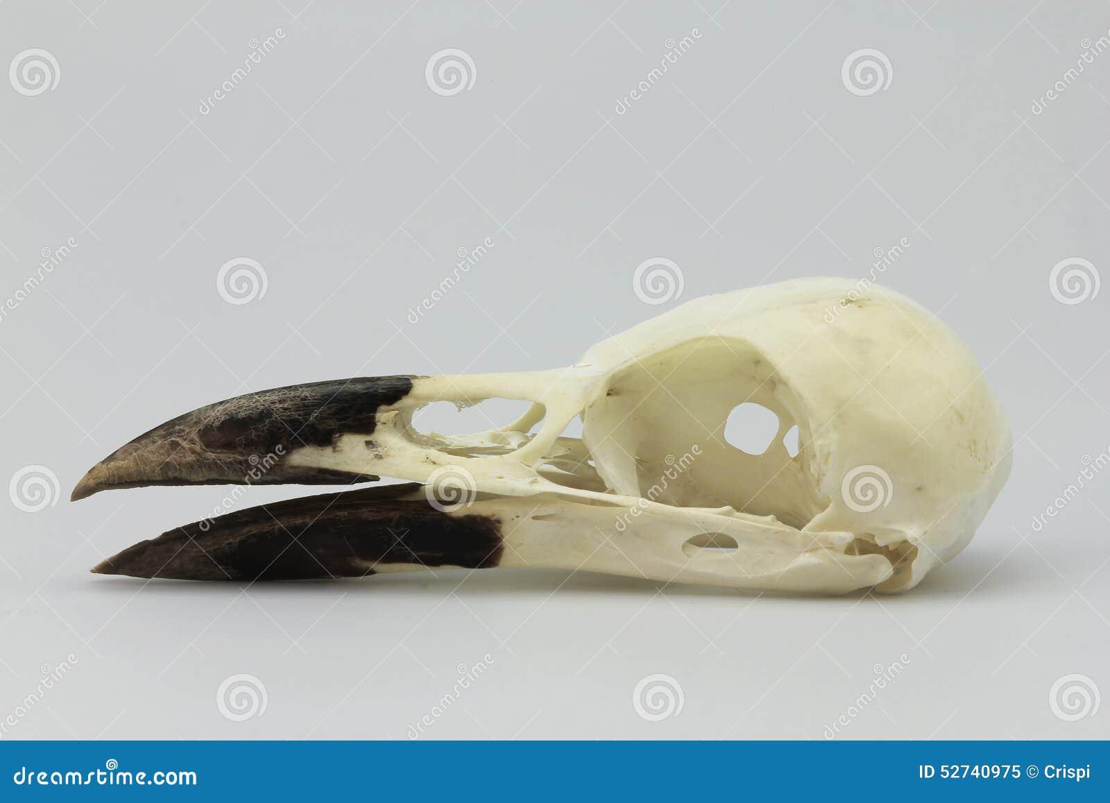 Cráneo del cuervo imagen de archivo. Imagen de pico, cráneo - 52740975