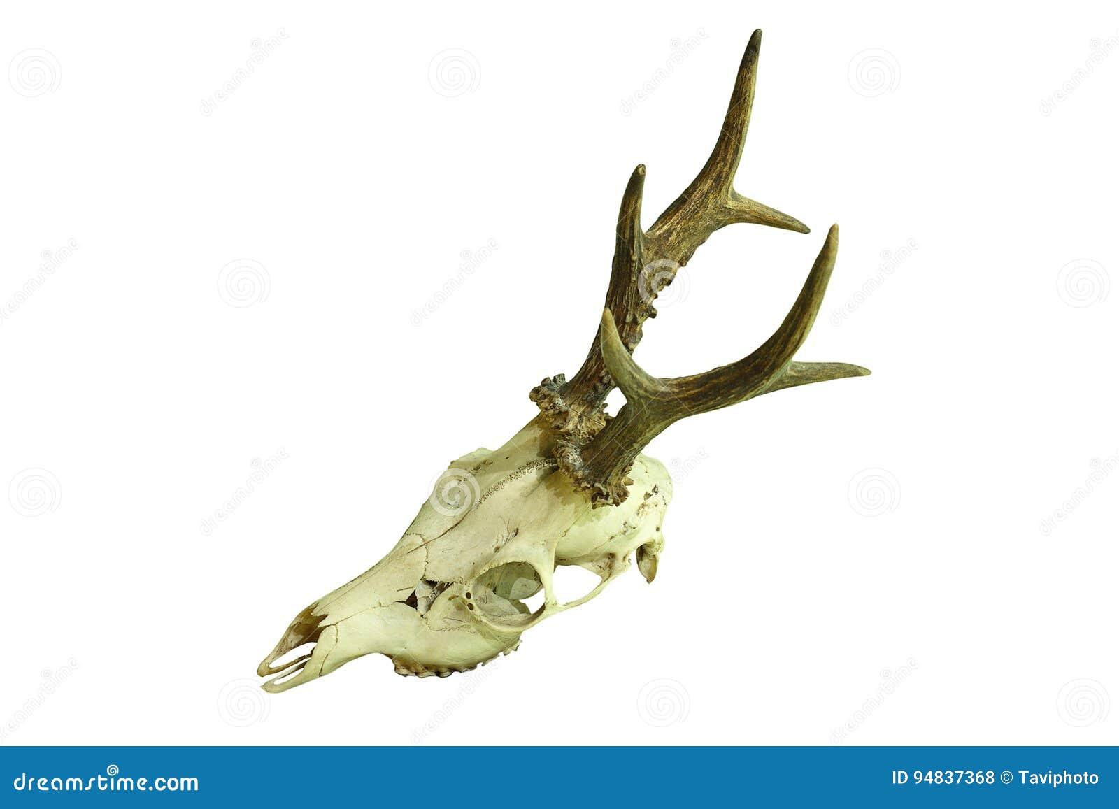 Cráneo Del Dólar De Los Ciervos De Huevas En El Fondo Blanco Foto de ...