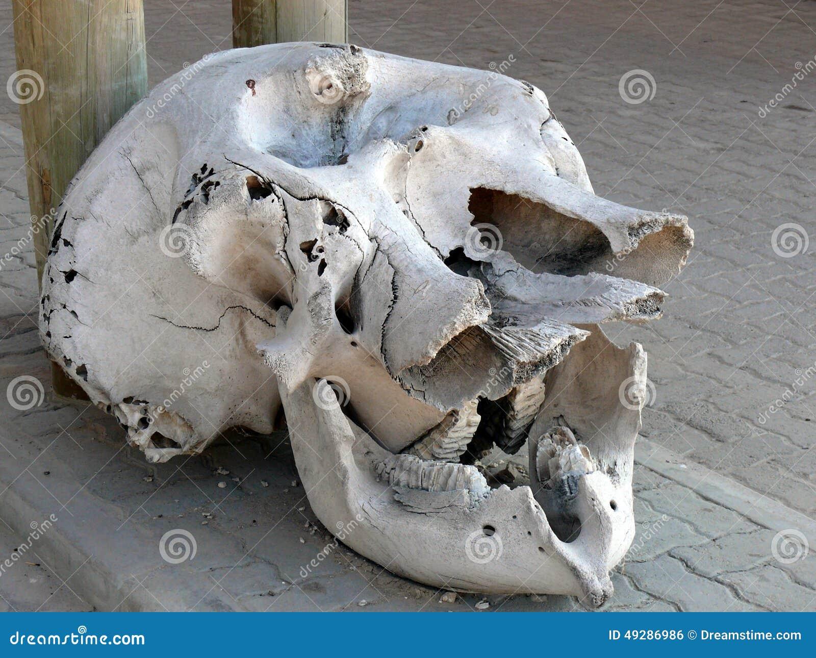 Cráneo Del Elefante En La Exhibición Foto de archivo - Imagen de ...