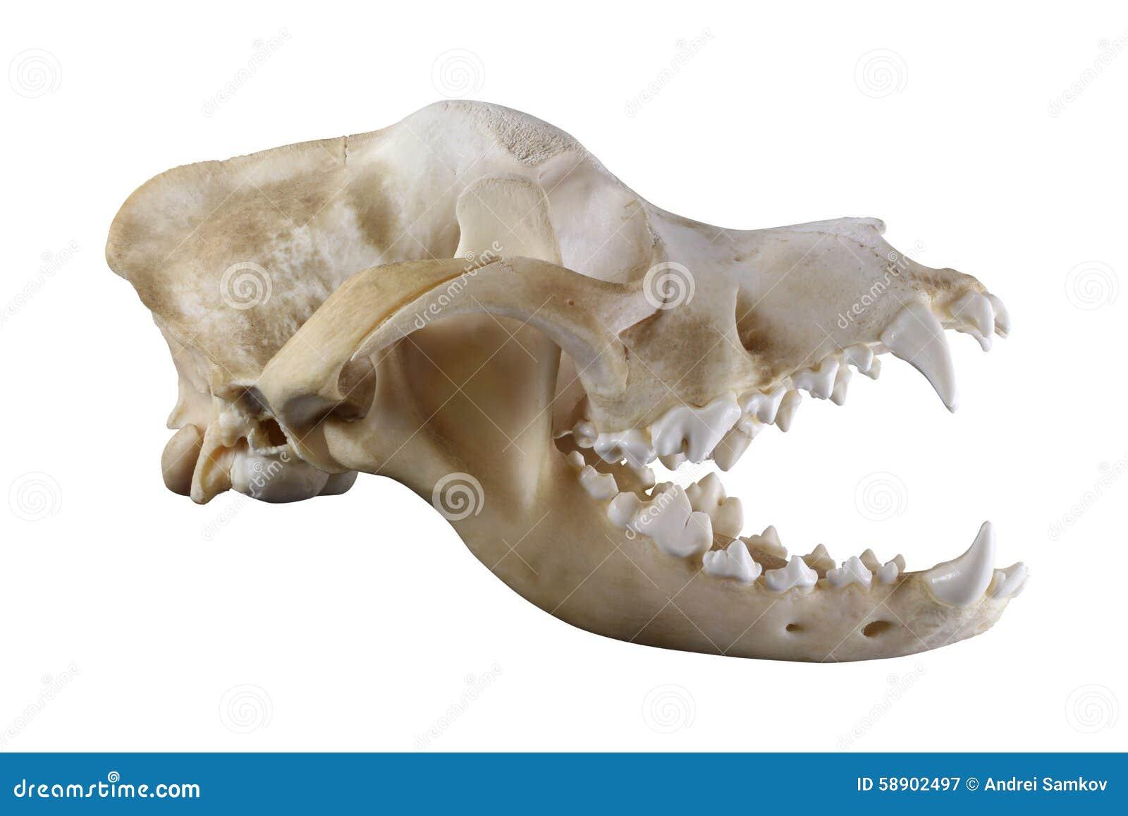 Cráneo Del Perro De St Bernard Aislado En Un Fondo Blanco Imagen de ...