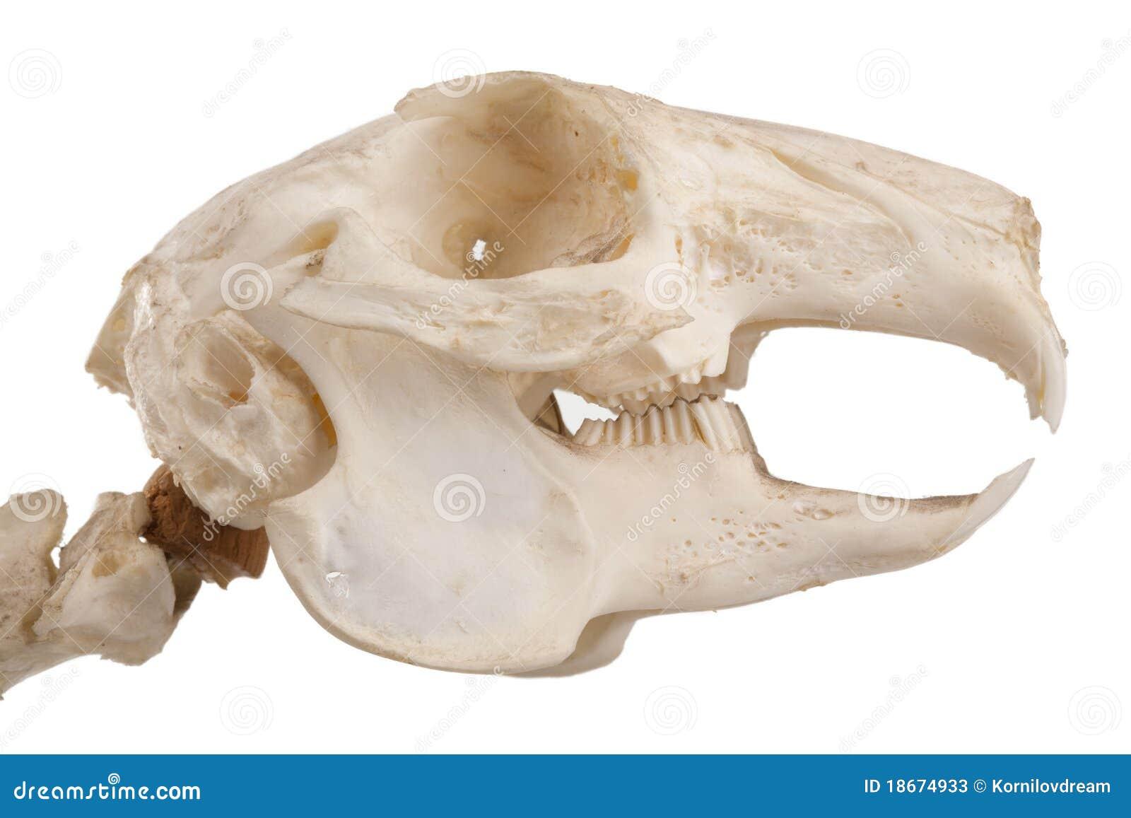 Asombroso Anatomía Cráneo De Rata Adorno - Anatomía de Las ...