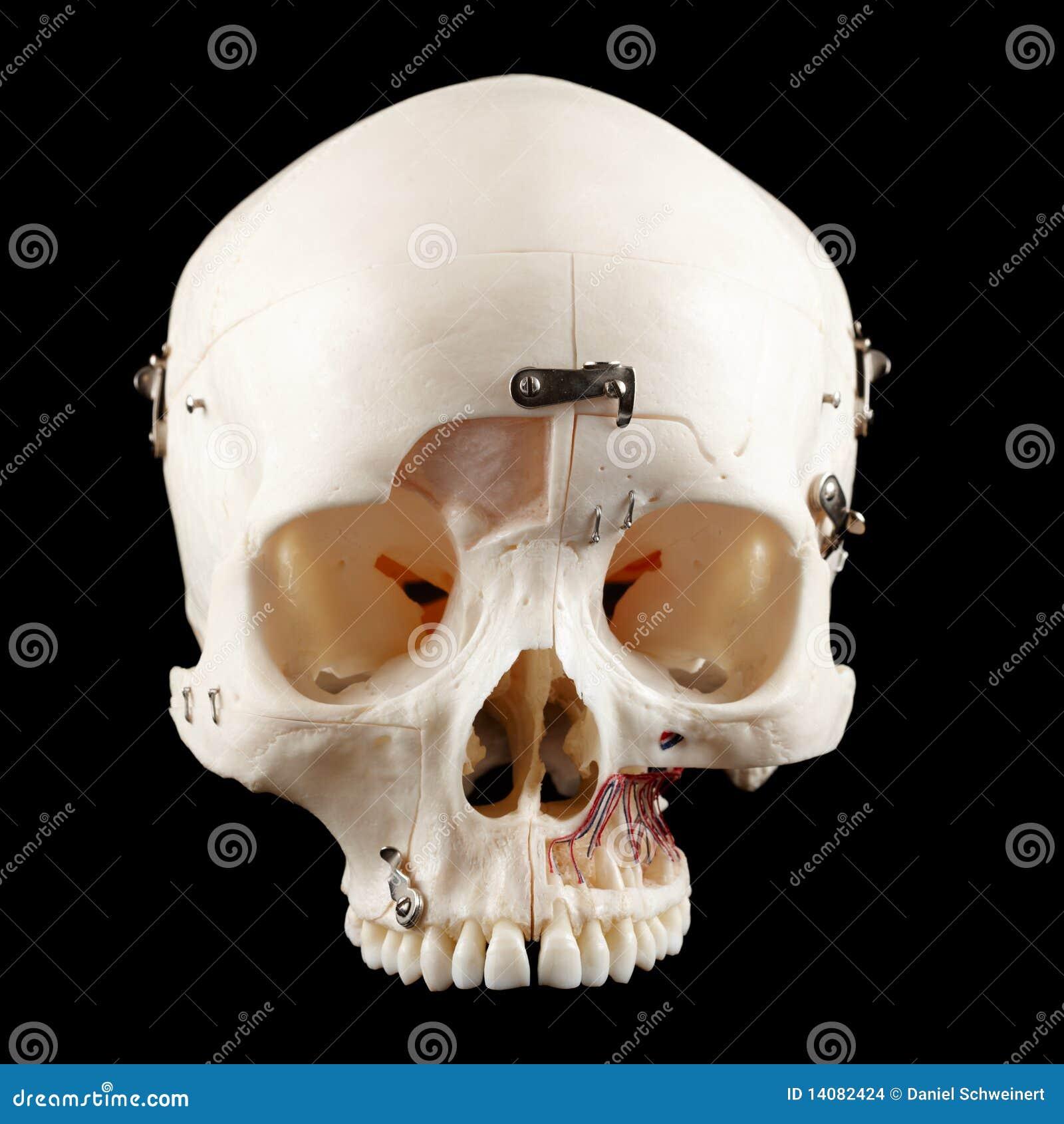 Cráneo humano foto de archivo. Imagen de pista, aislado - 14082424