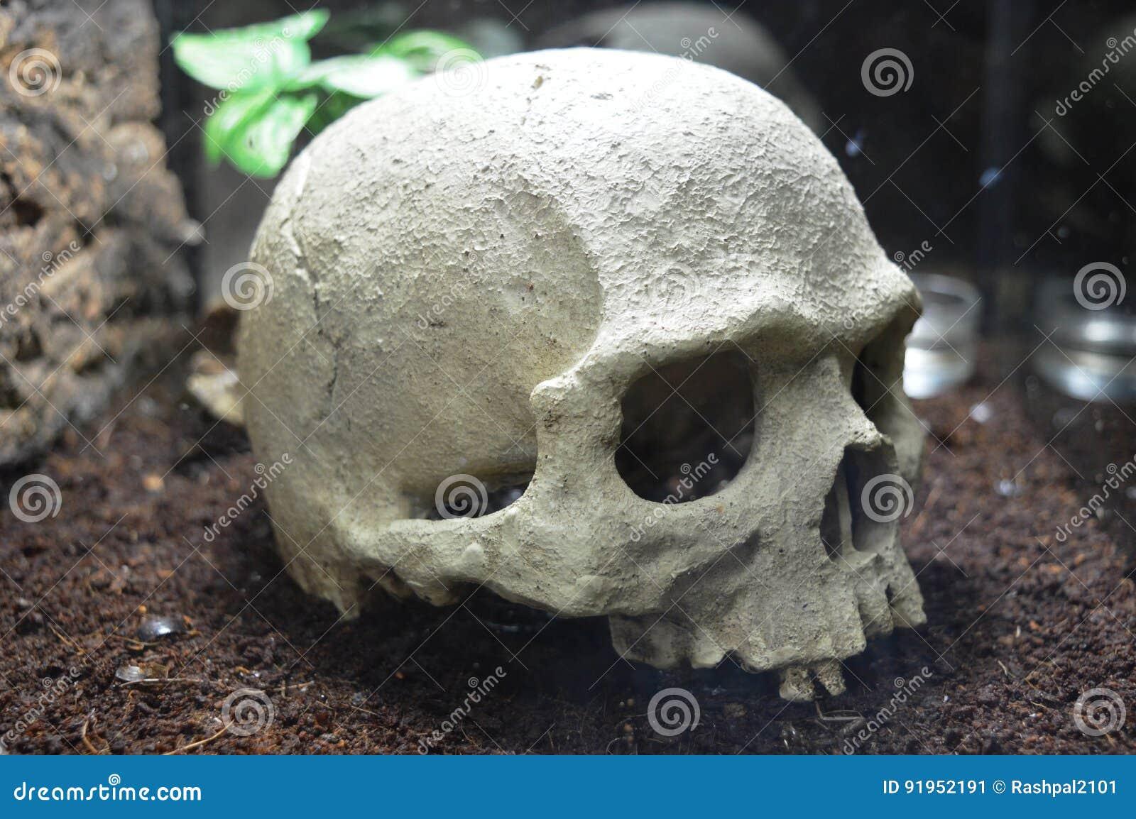 Cráneo humano imagen de archivo. Imagen de muerto, cara - 91952191