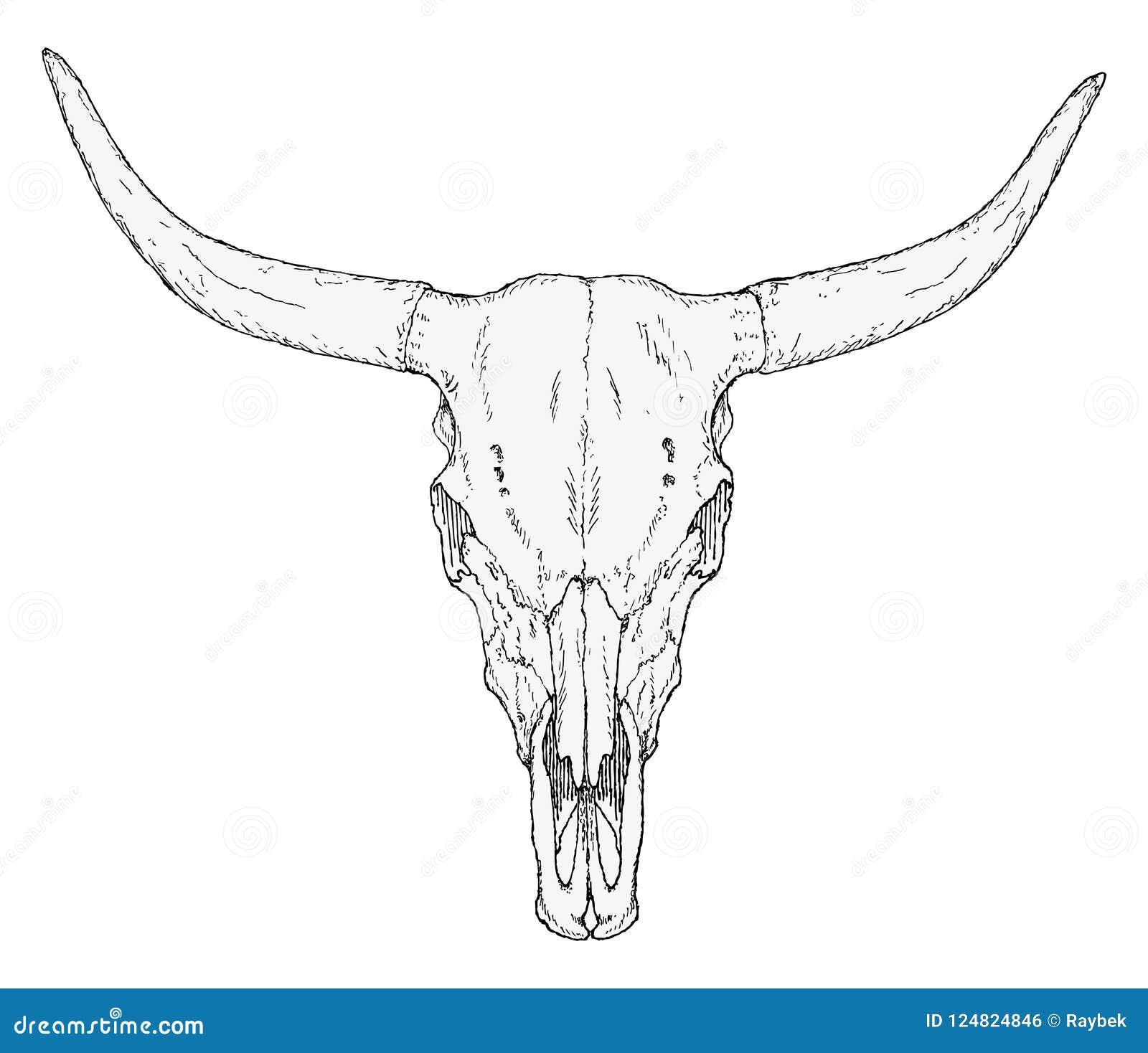 Cráneo a mano del toro