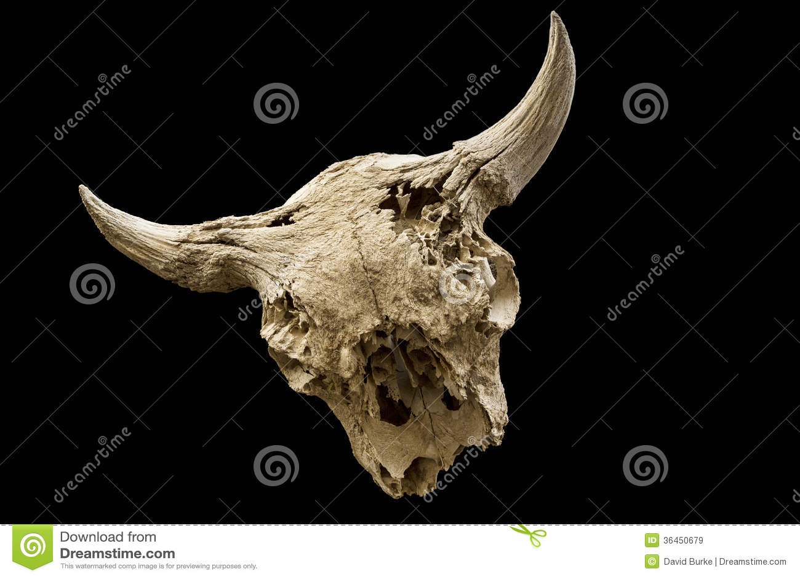 Cráneo resistido del búfalo aislado