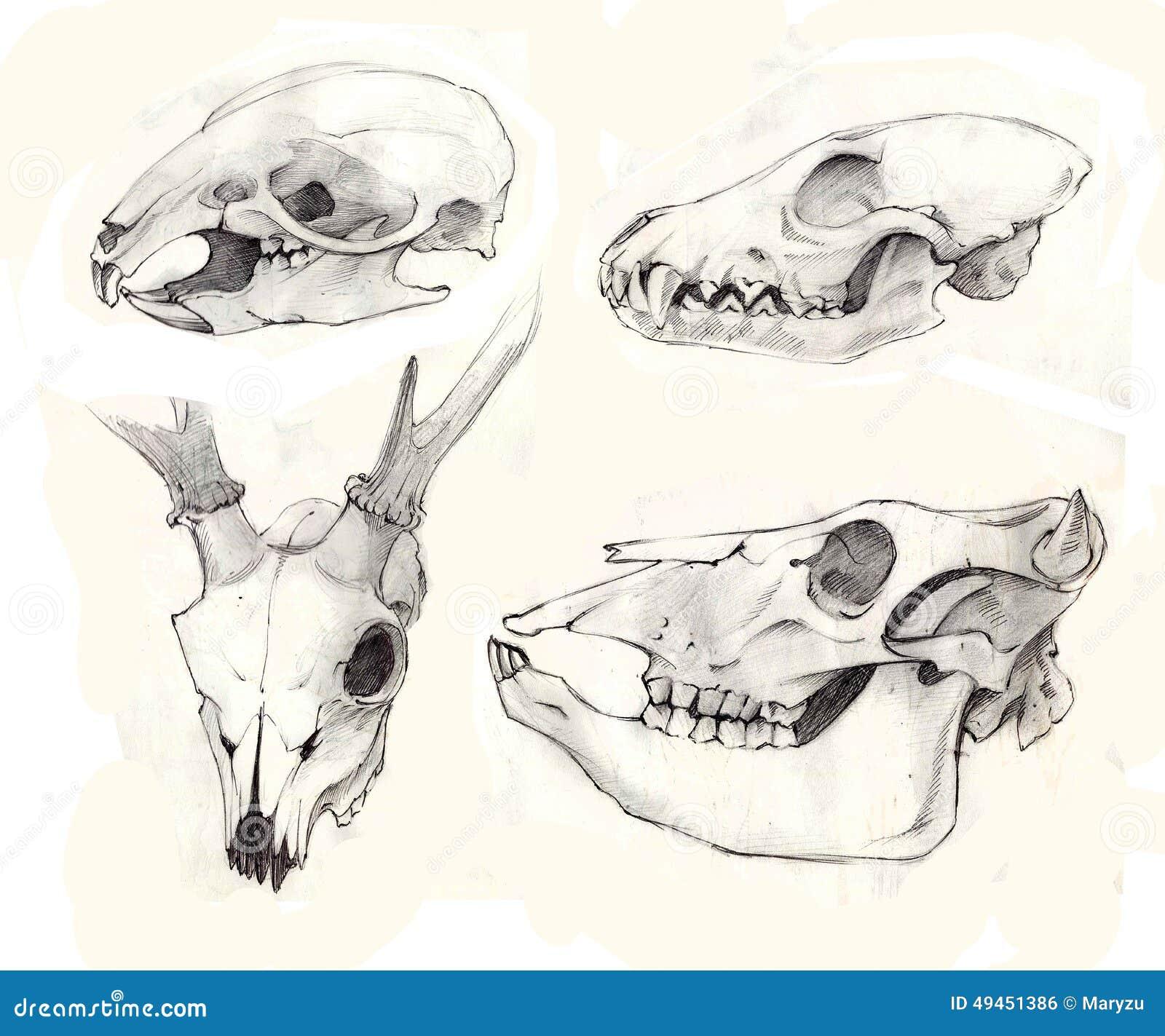 Cráneo De Los Ciervos Y De La Rata Imagen de archivo - Imagen de ...