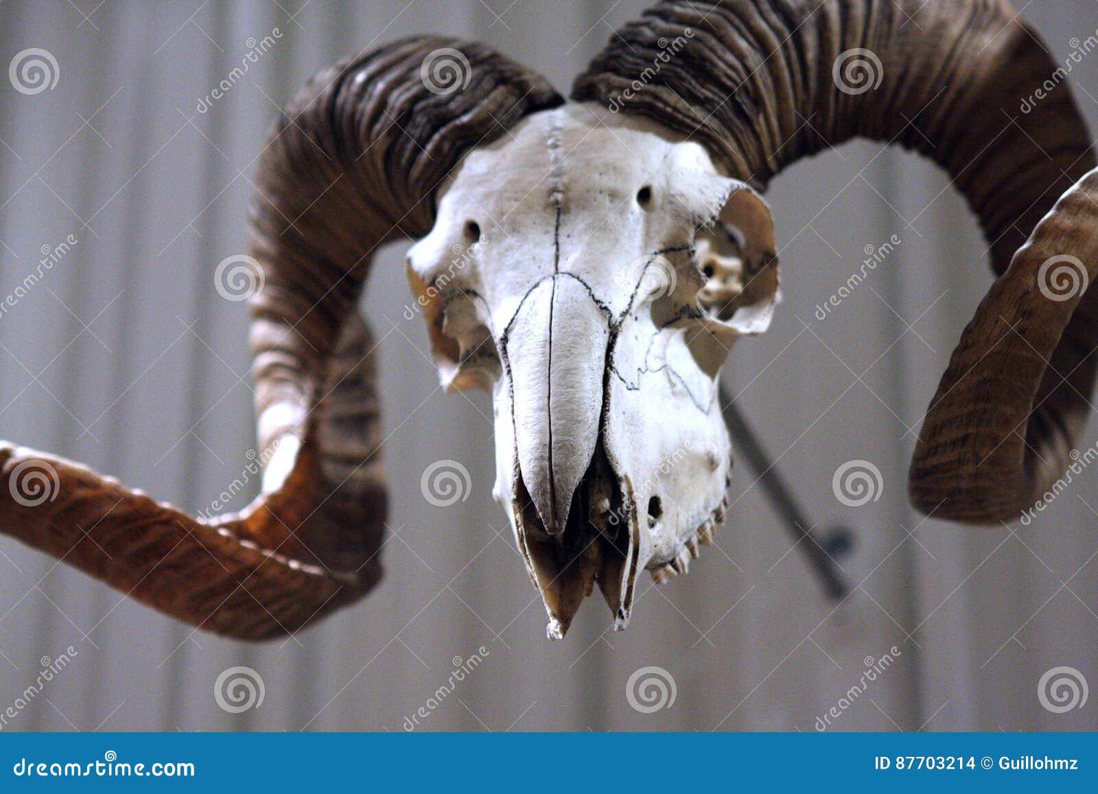 Crâne de Mouflon