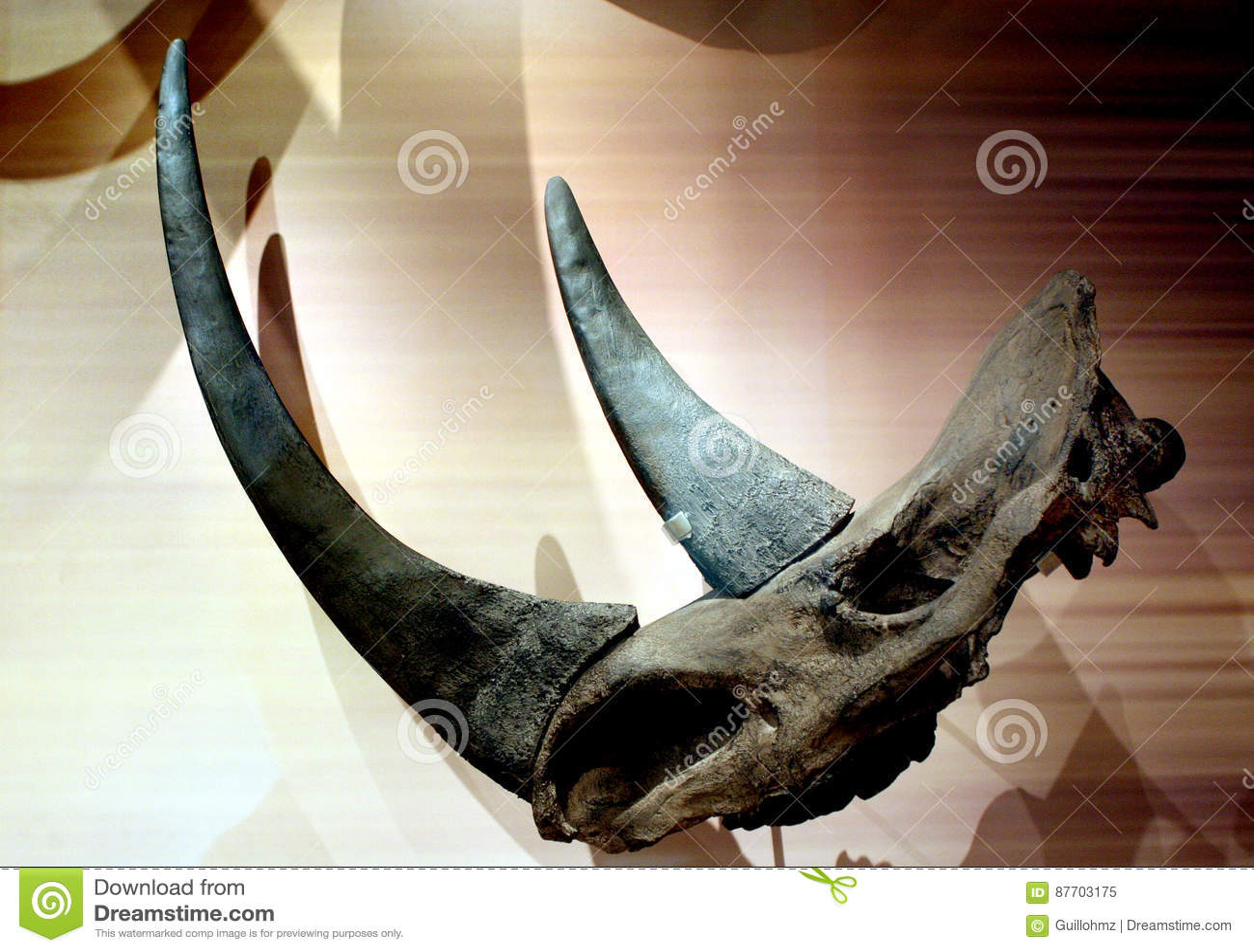 Crâne et horne de rhinocéros