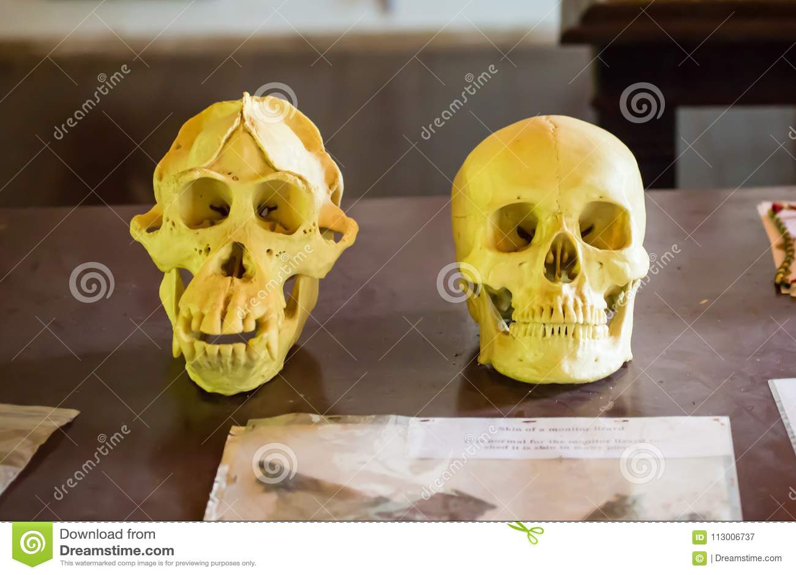 Crânes d humain et d orang-outan la forêt au Bornéo