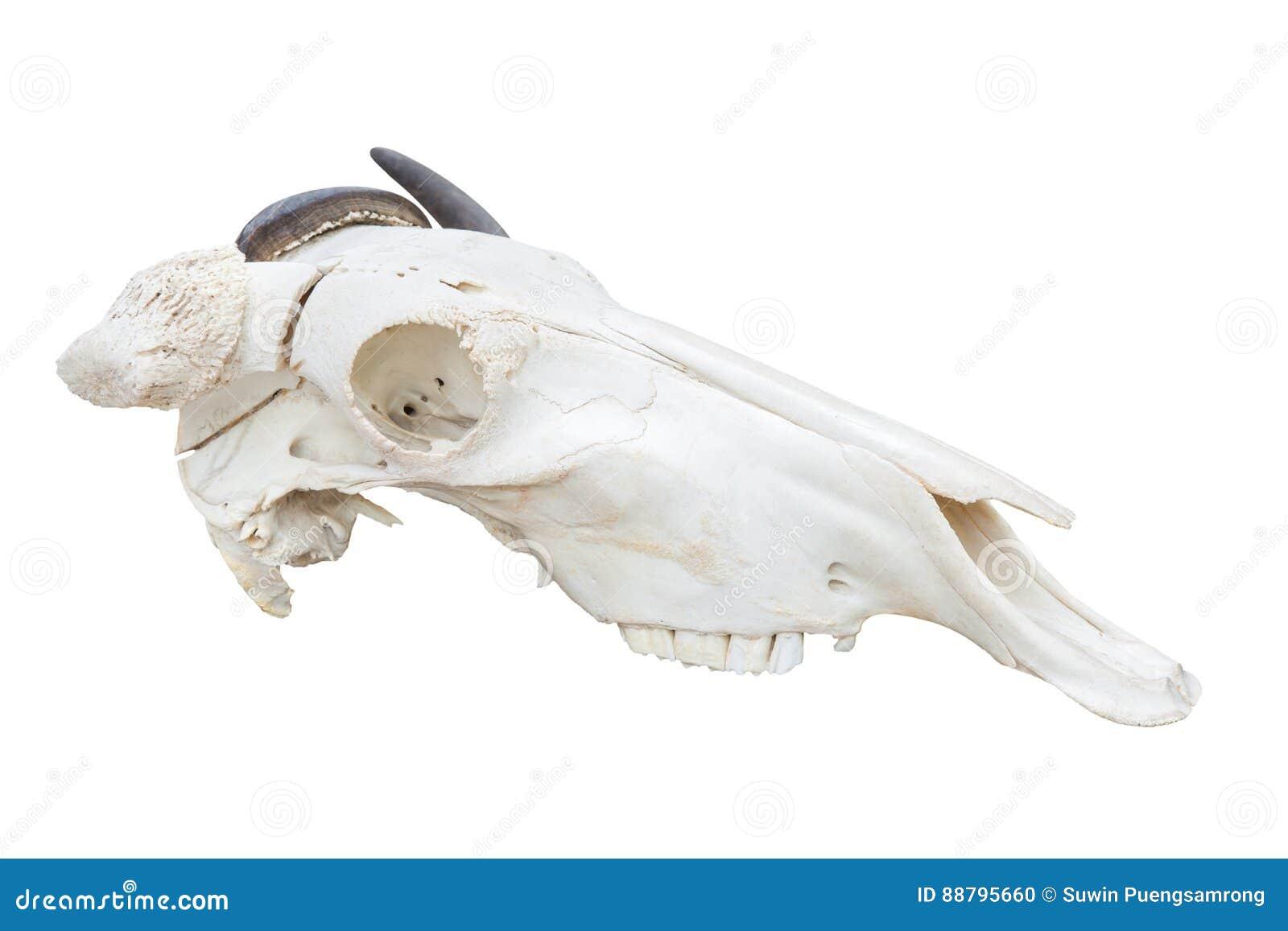 Crânio azul da cabeça do gnu isolado no fundo branco