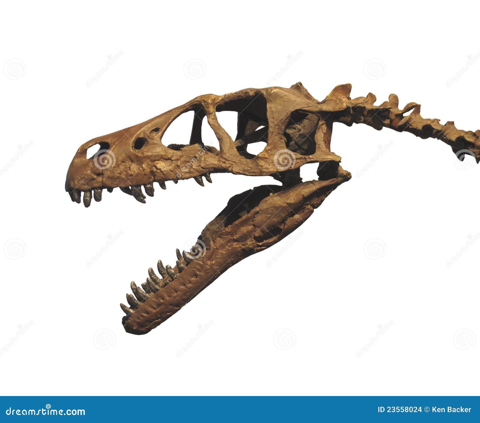 Crânio da cabeça do fóssil de dinossauro isolado
