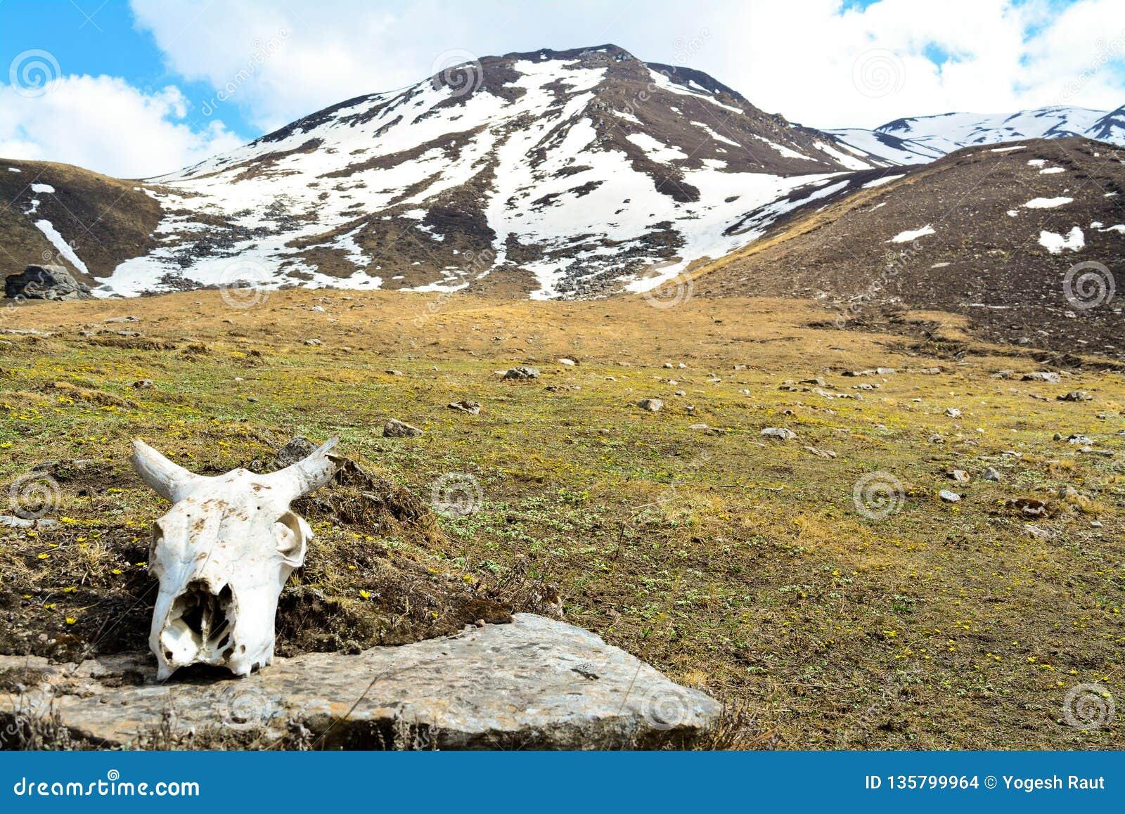Crânio do íbex Himalaia com as montanhas no fundo