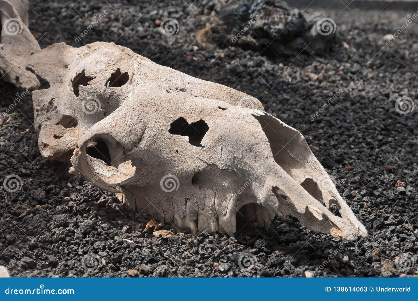 Crânio do camelo