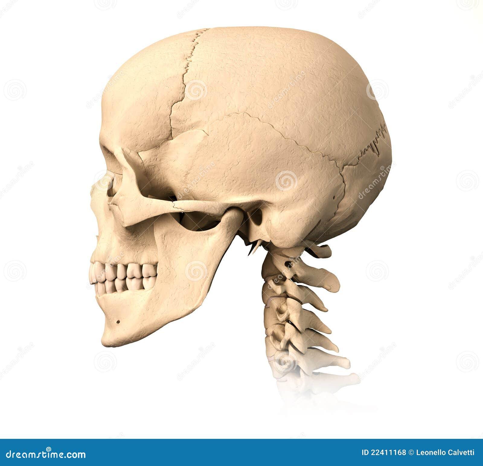 Crânio Humano, Vista Lateral. Ilustração Stock - Imagem ...
