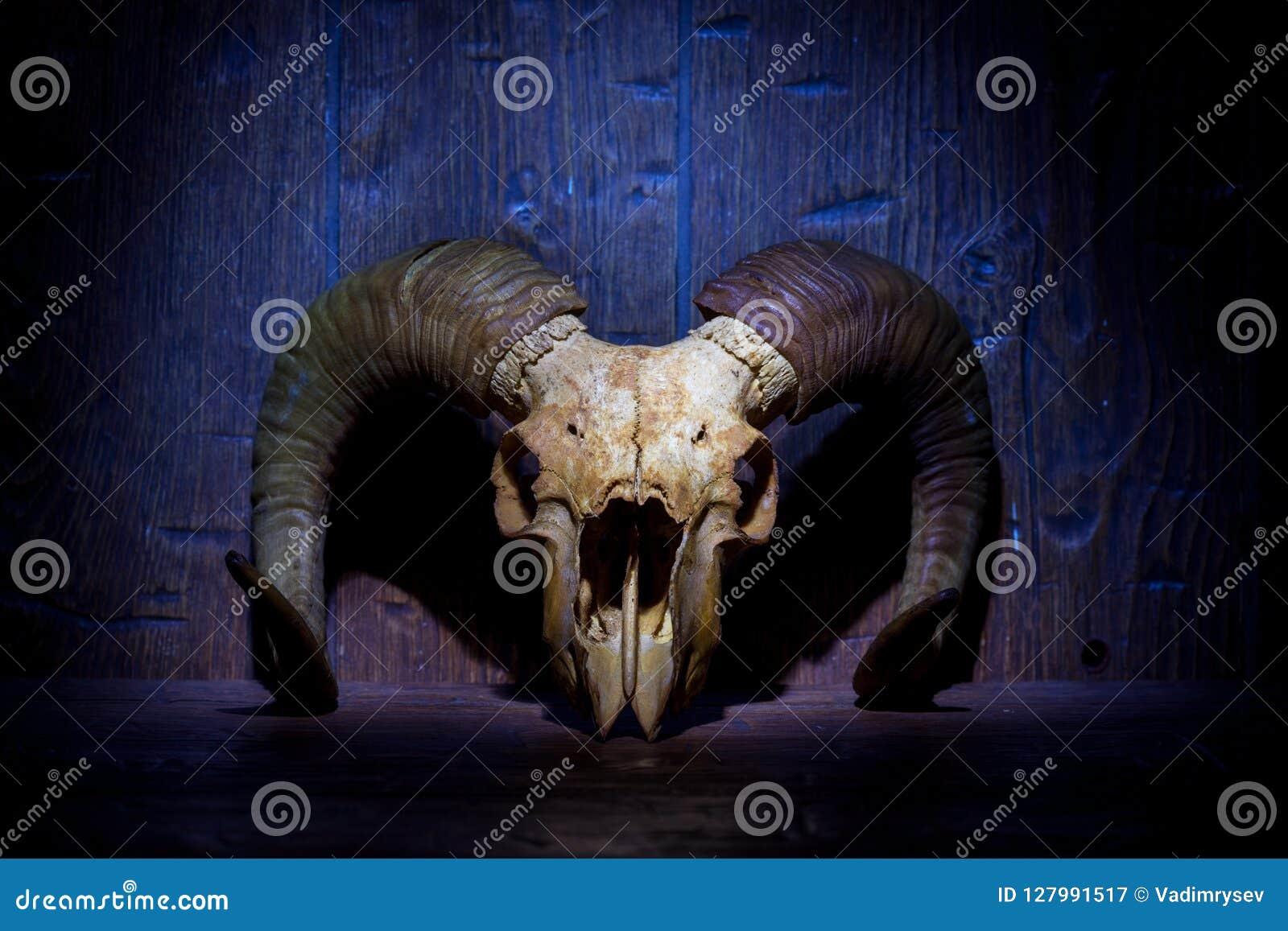 Crânio velho branco da ram na parede de madeira azul