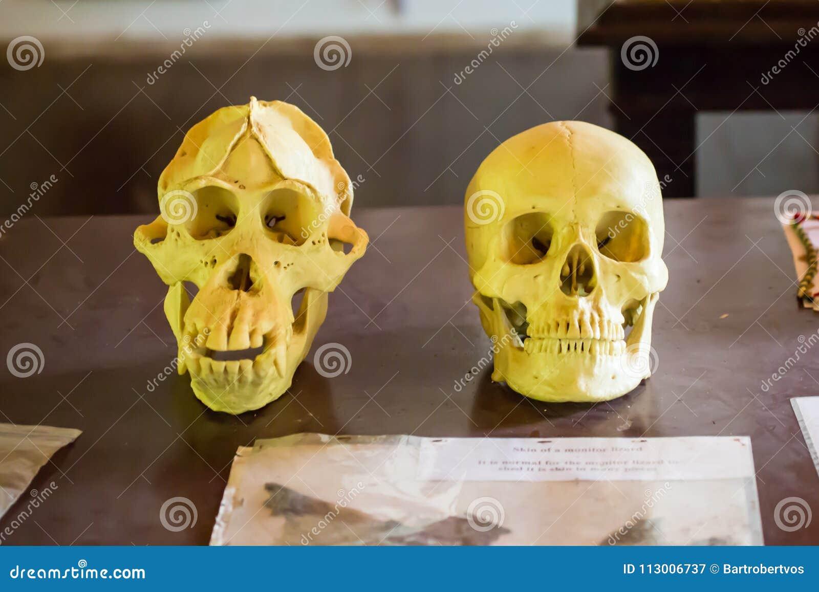 Crânios do ser humano e do orangotango a floresta em Bornéu