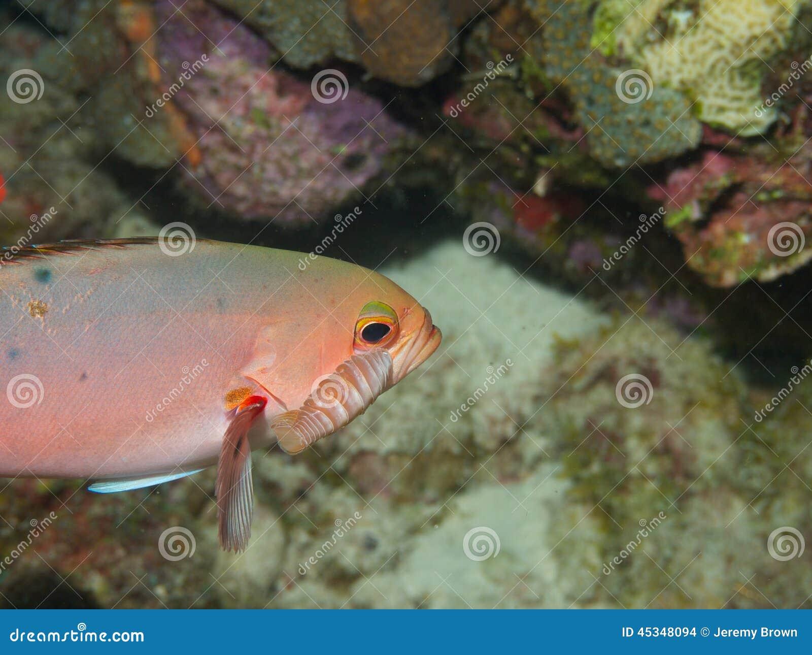 Créole-poissons avec le parasite 02 d Isopod