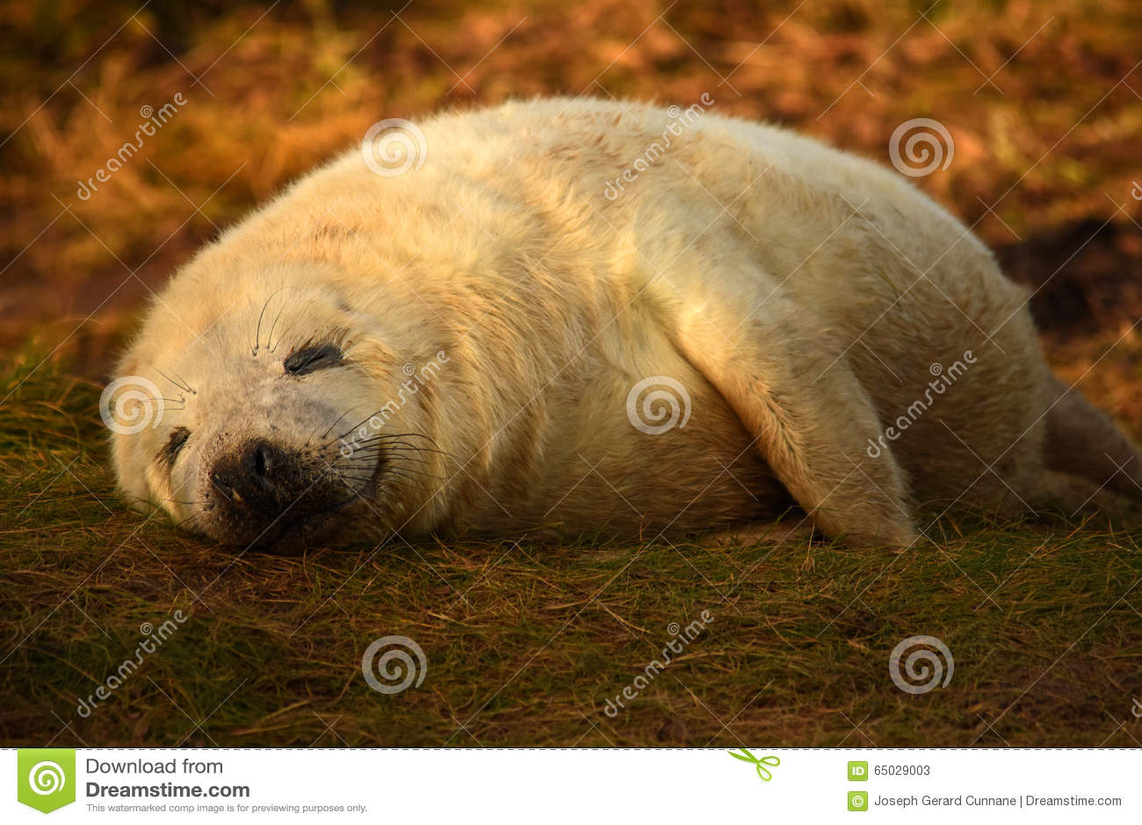 Cría de foca gris el dormir con sonrisa en cara