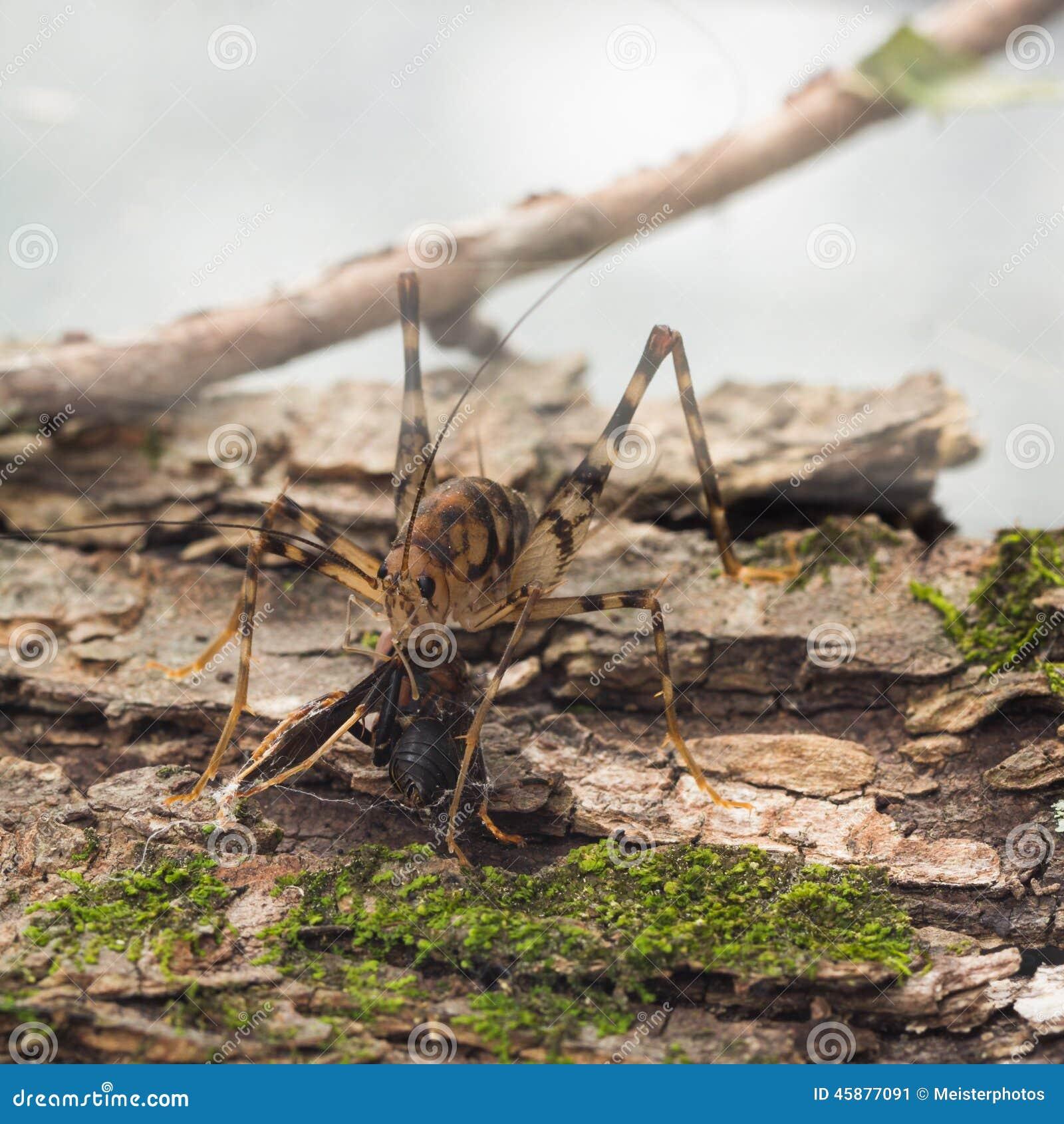 Críquete do camelo que come a vespa inoperante