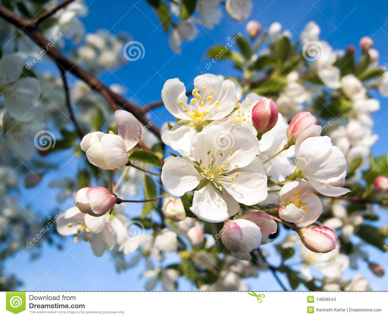 Crab Apple Blossoms Stock Photo Image Of Apple Landscape 14658544