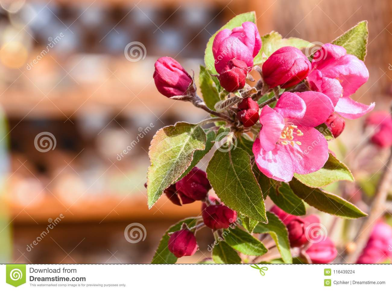 Crab Apple Malus Pink Flowers And Leaves Stock Photo Image Of