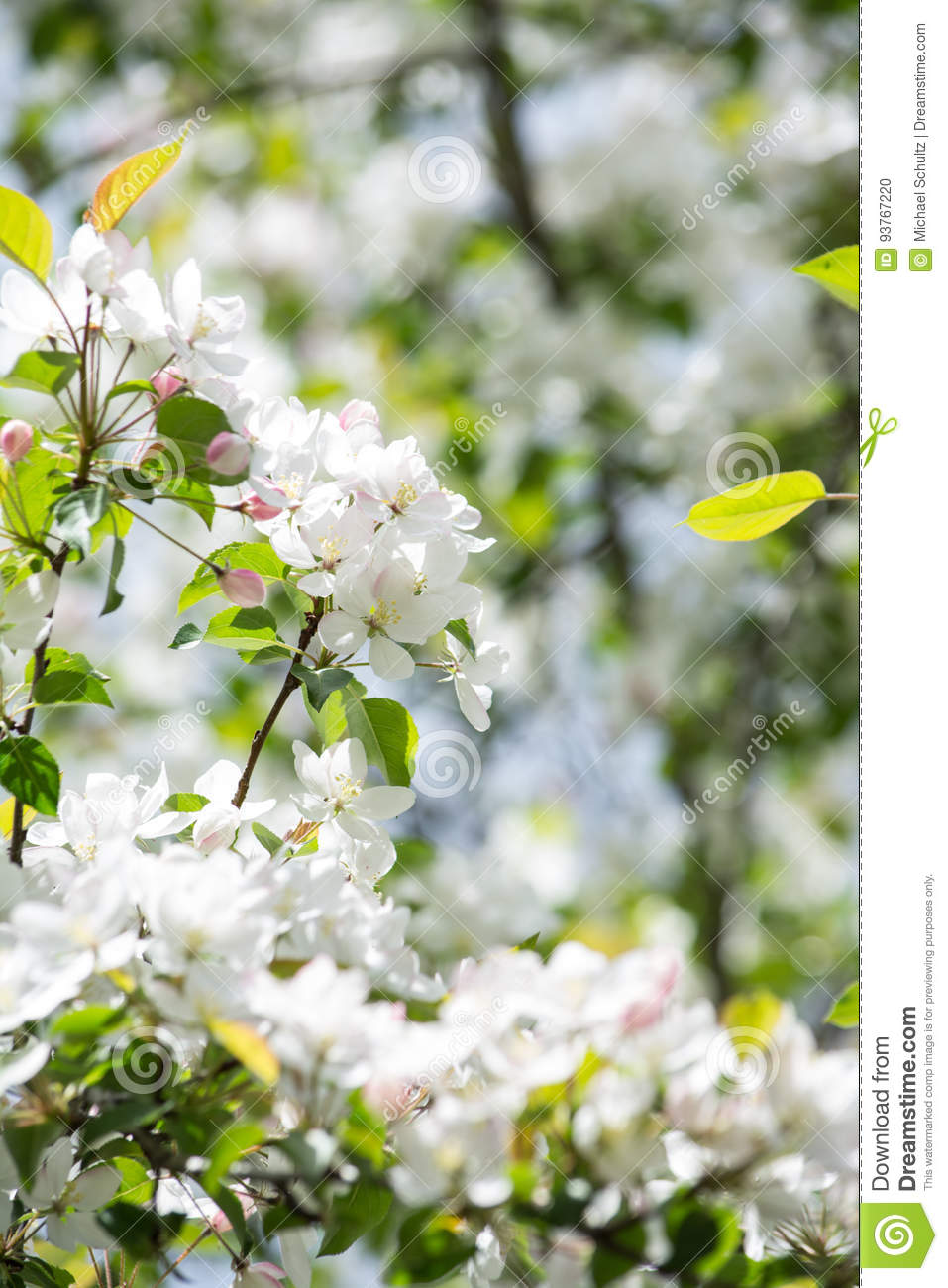 Crab Apple Tree In Bloom Stock Photo Image Of Sargent 93767220