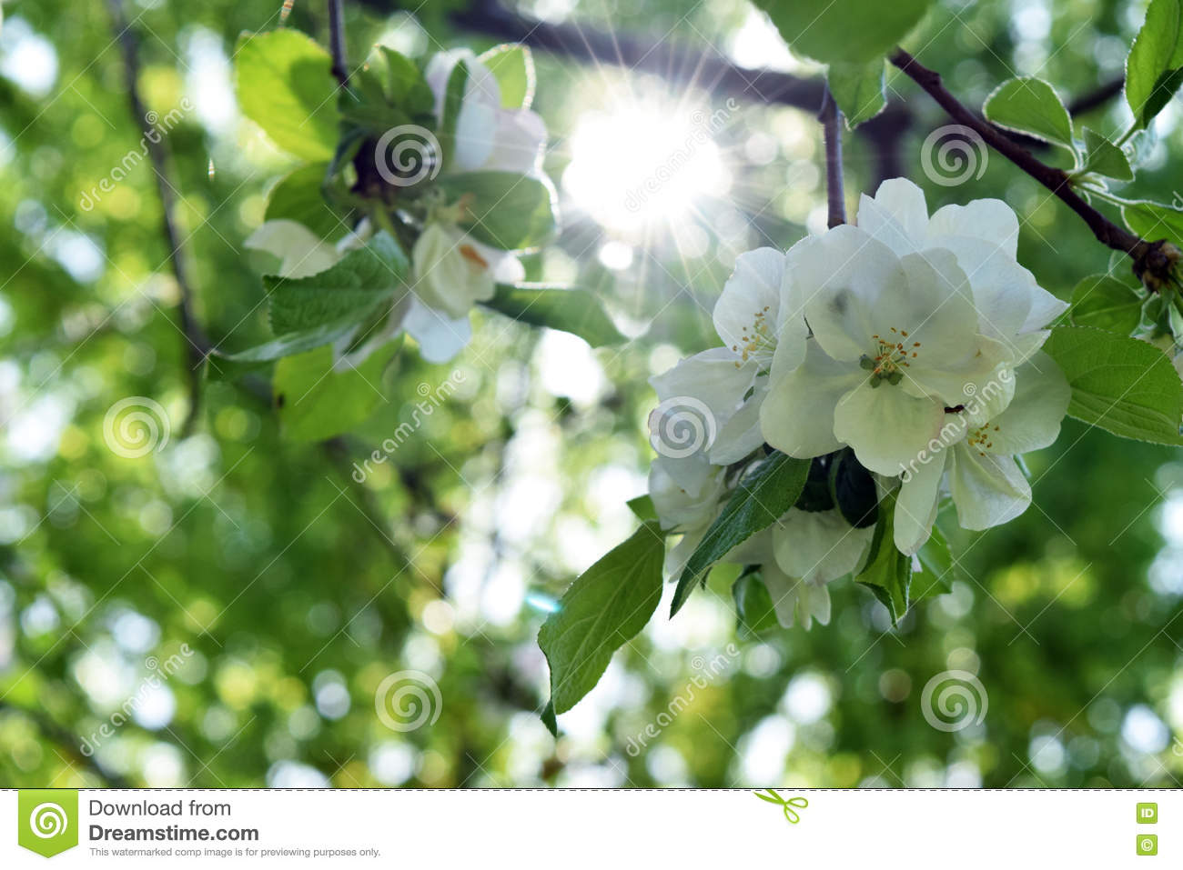 Crab apple tree blooming sunny stock image image of leaves branch download crab apple tree blooming sunny stock image image of leaves branch 70461075 mightylinksfo
