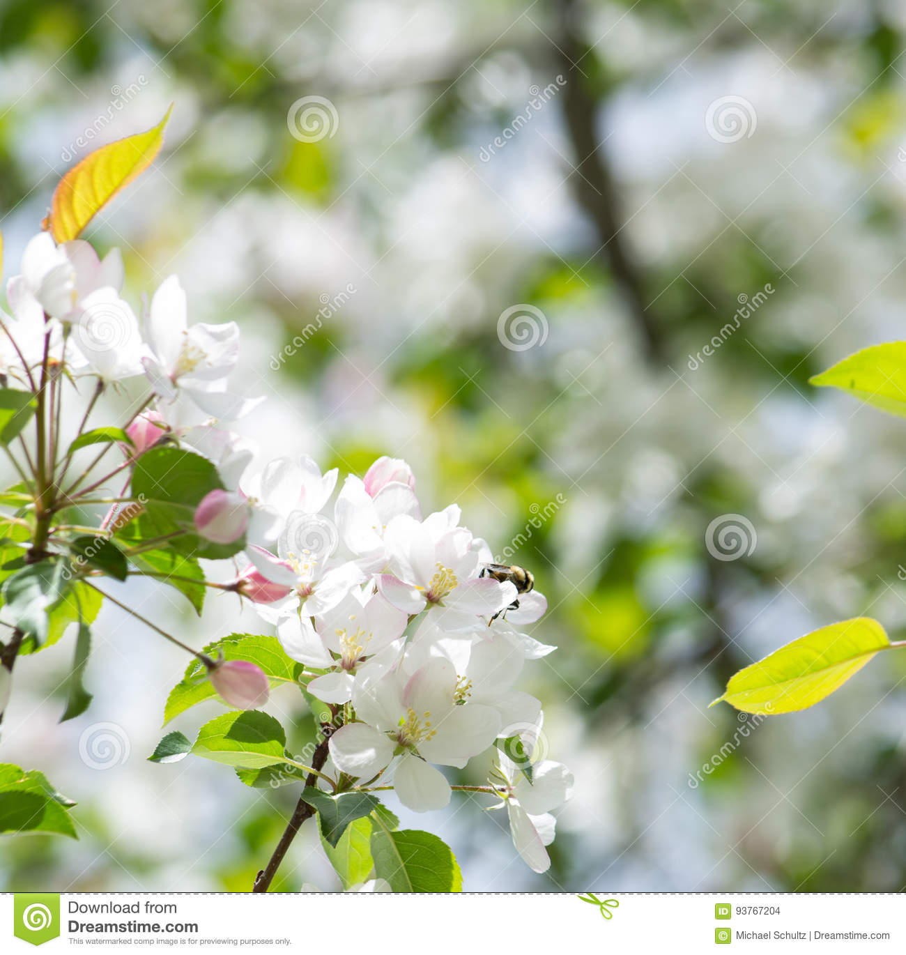 Crab Apple Tree With Honey Bee Stock Photo Image Of Honey Plants
