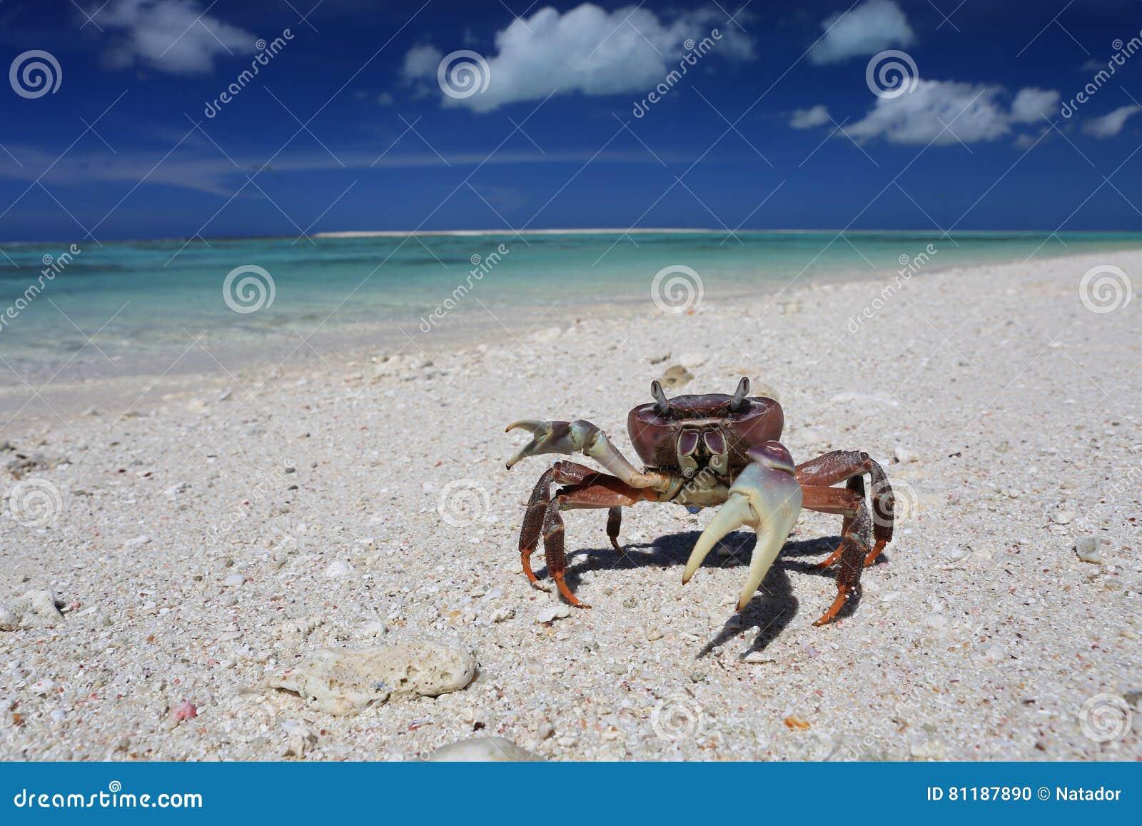 Crab On A Beach, Christmas Island, Kiribati Stock Photo - Image of ...