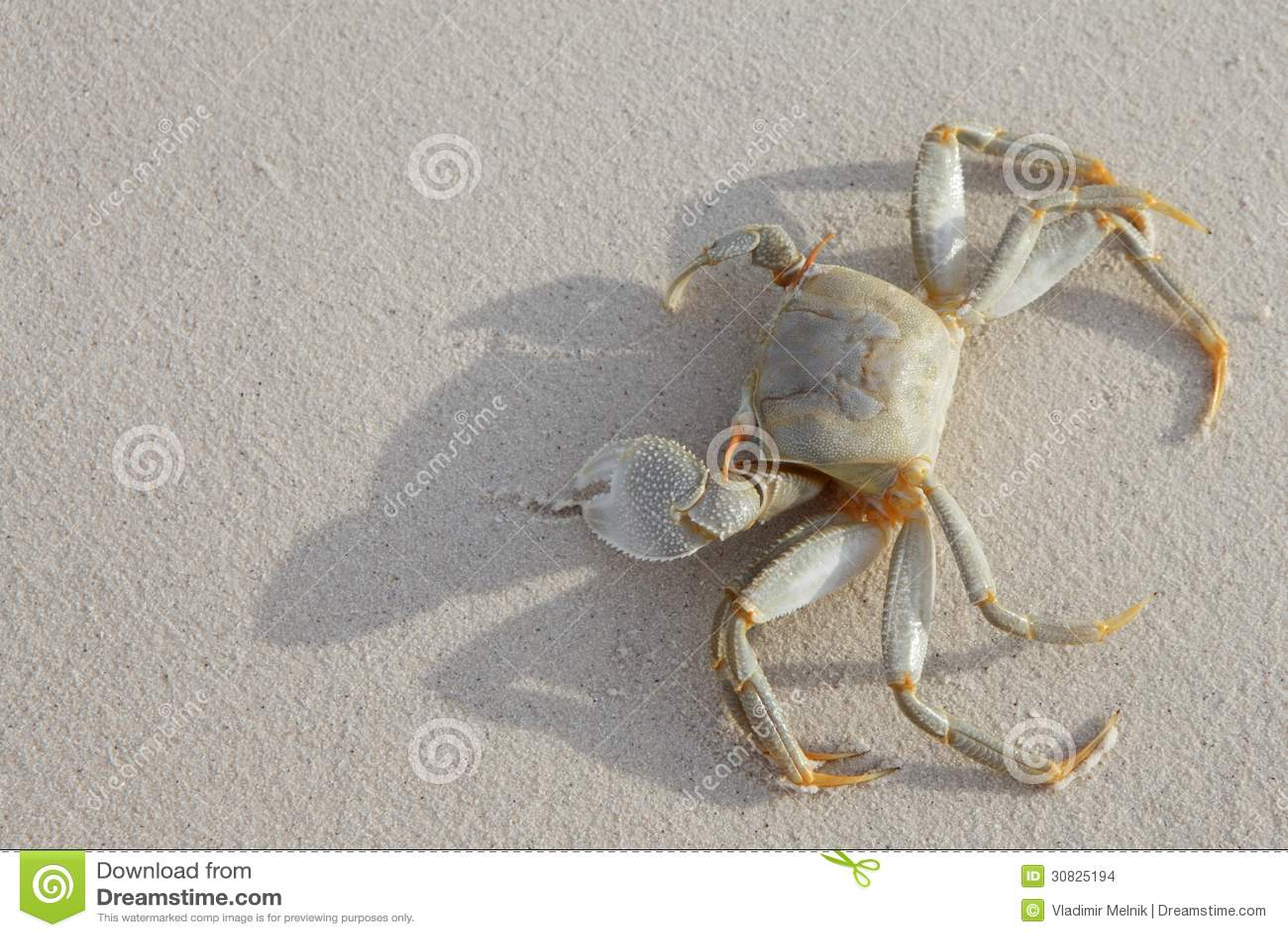 Crab on beach stock photo. Image of ocean, ocypode, animal ...