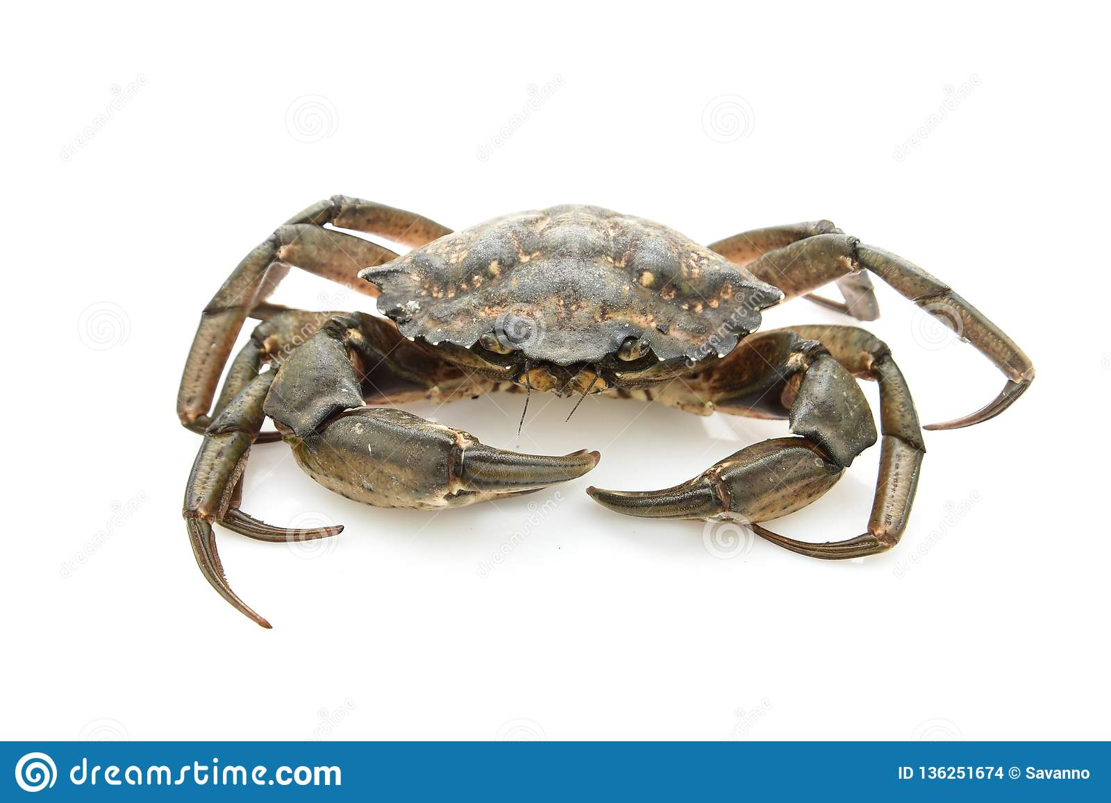 Crab. Black sea crustacean isolated on white background