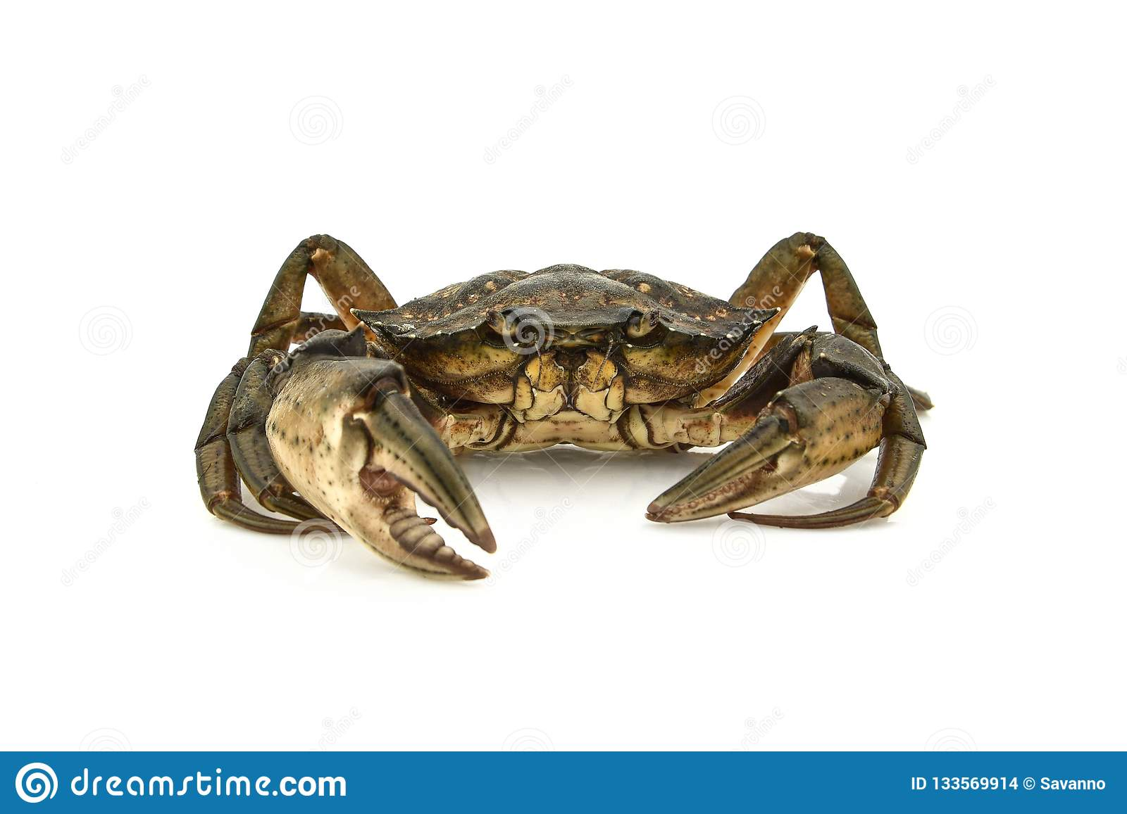 Crab. Black sea crustacean, isolated on white
