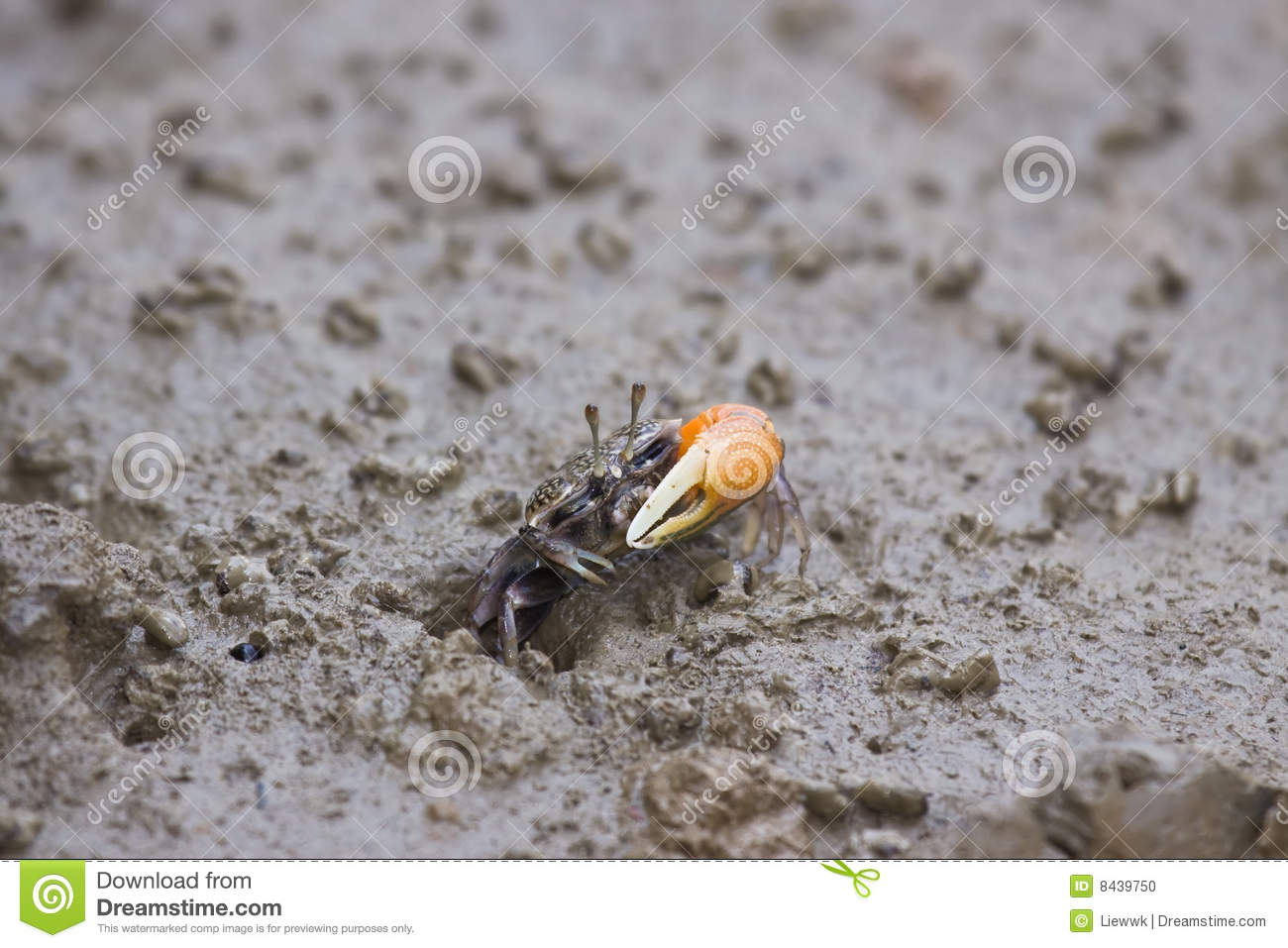 Crab coming out from hole