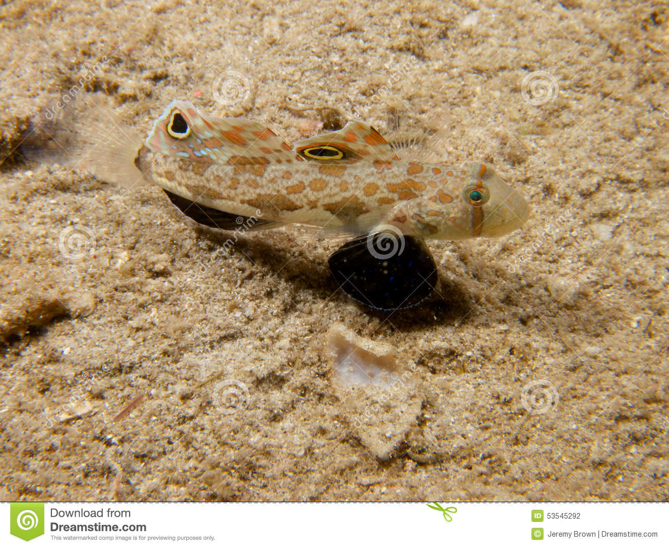 Twin spot goby fish royalty free stock photography for Free fishing spots near me
