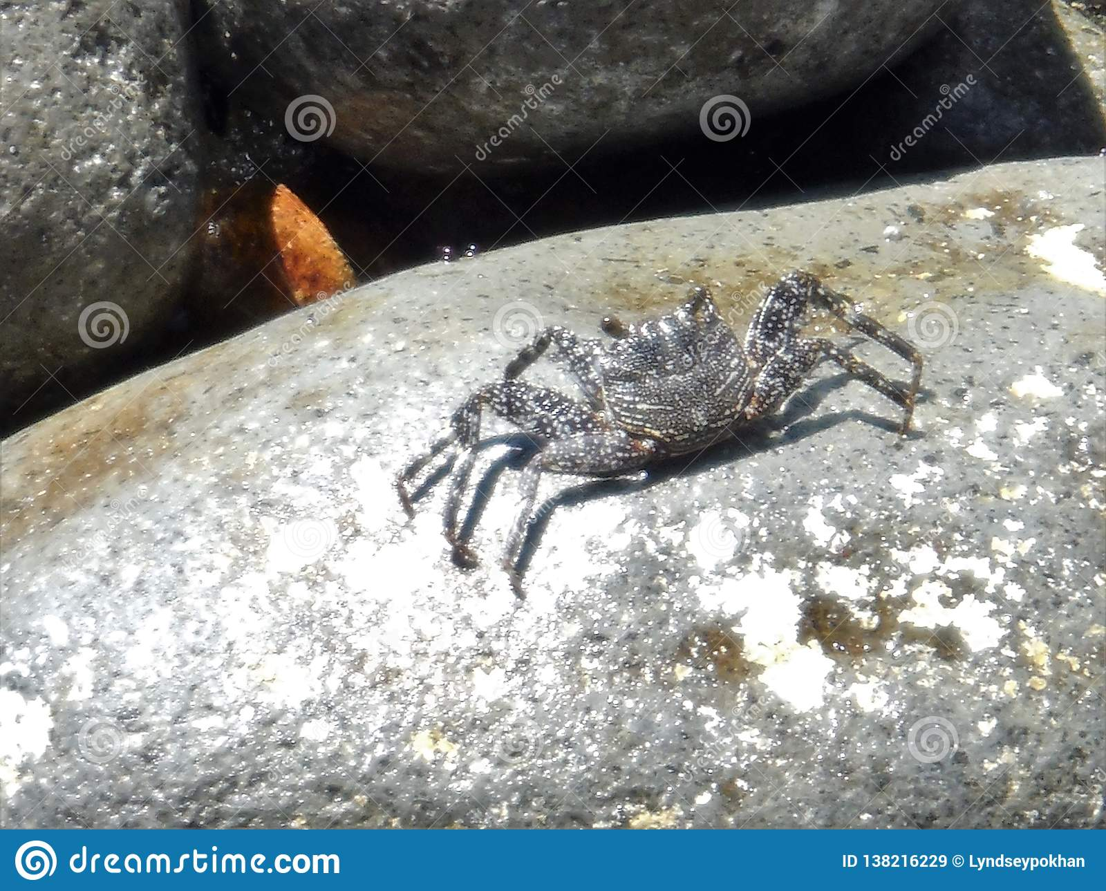 Crab on a rock in Dominica