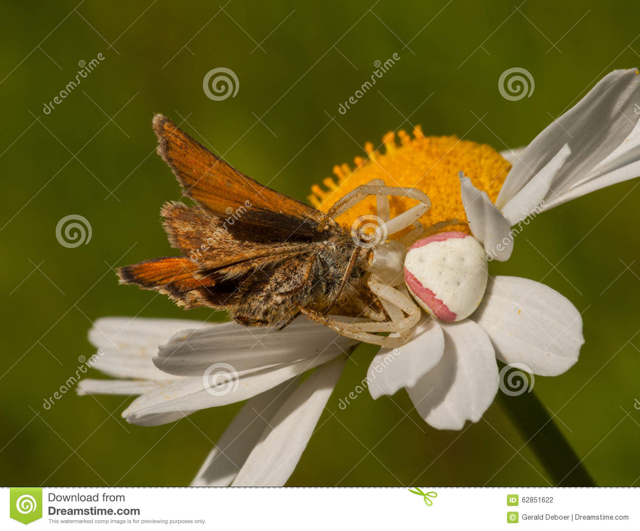 Crab Spider Eating Skipper stock photo. Image of environment - 62851622