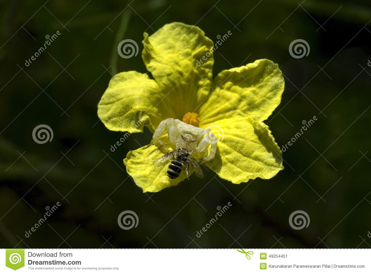 Crab spider preying bumble bee garden spiders spiders flower spiders - Crab Spider Preying On Bumble Bee Garden Spiders Crab Spiders Or Flower
