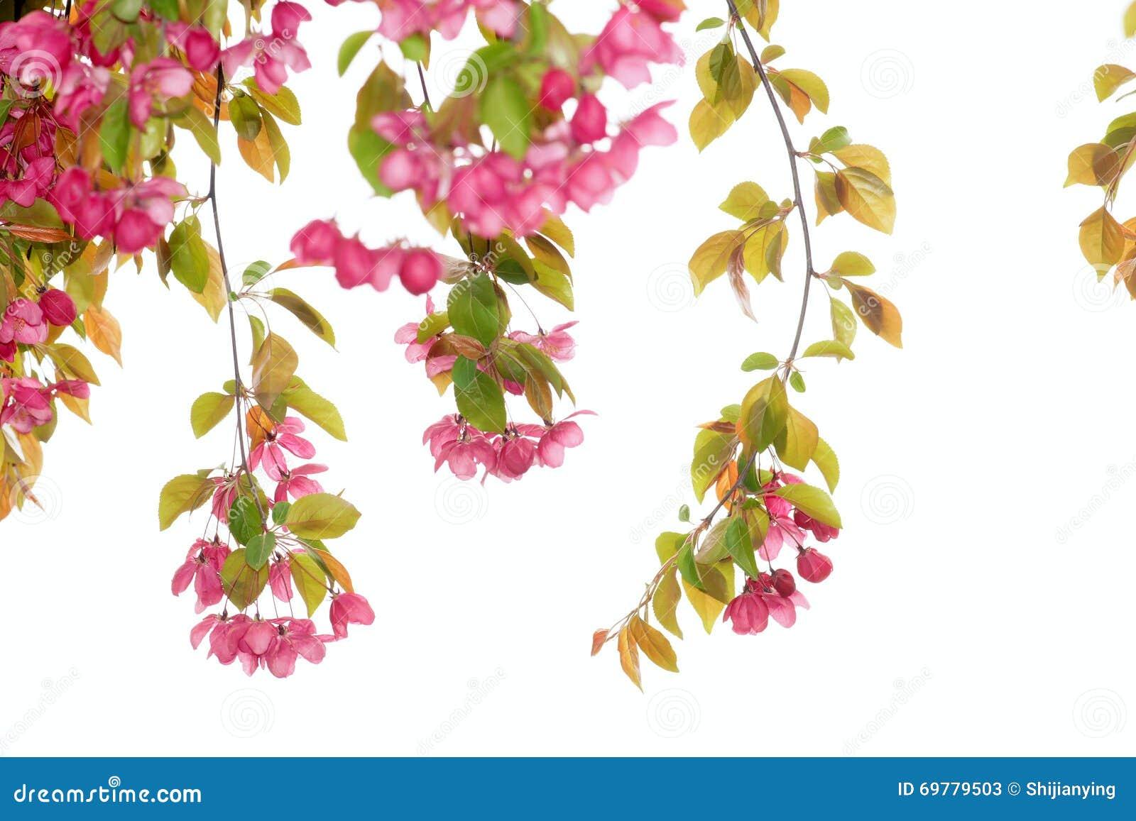 Crabapple Flowers Stock Image Image Of Plant Flower 69779503