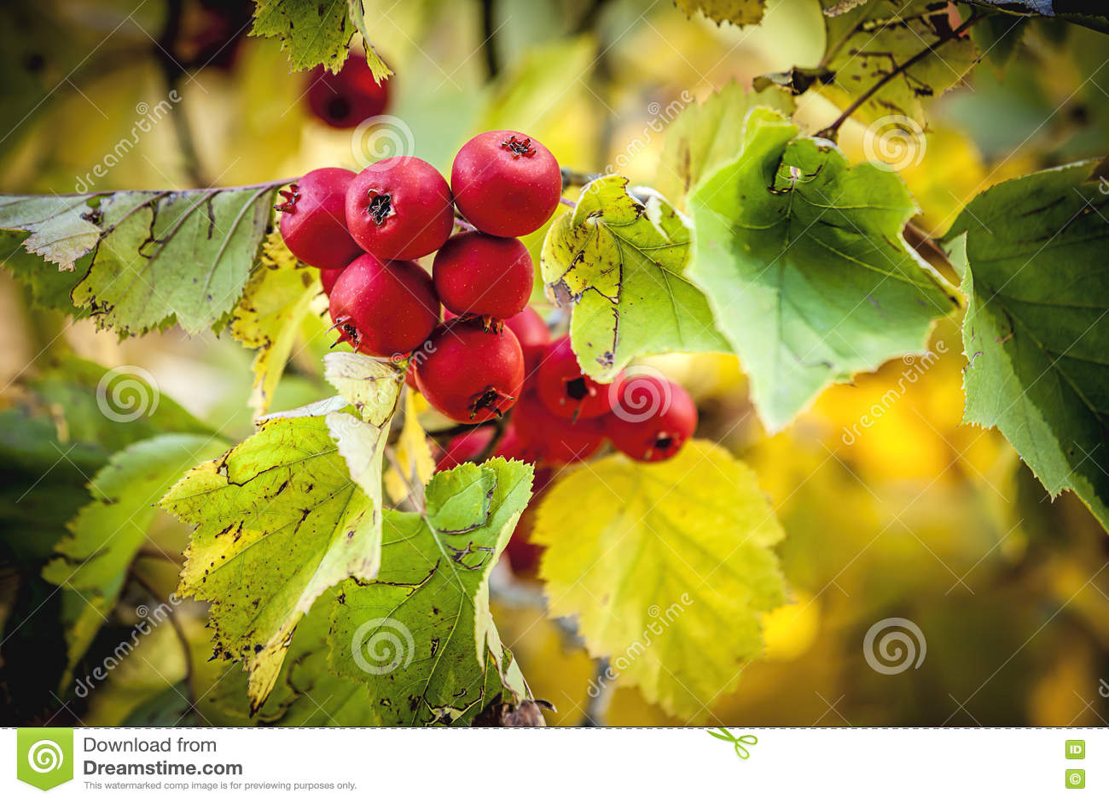 Crabapple tre在秋天