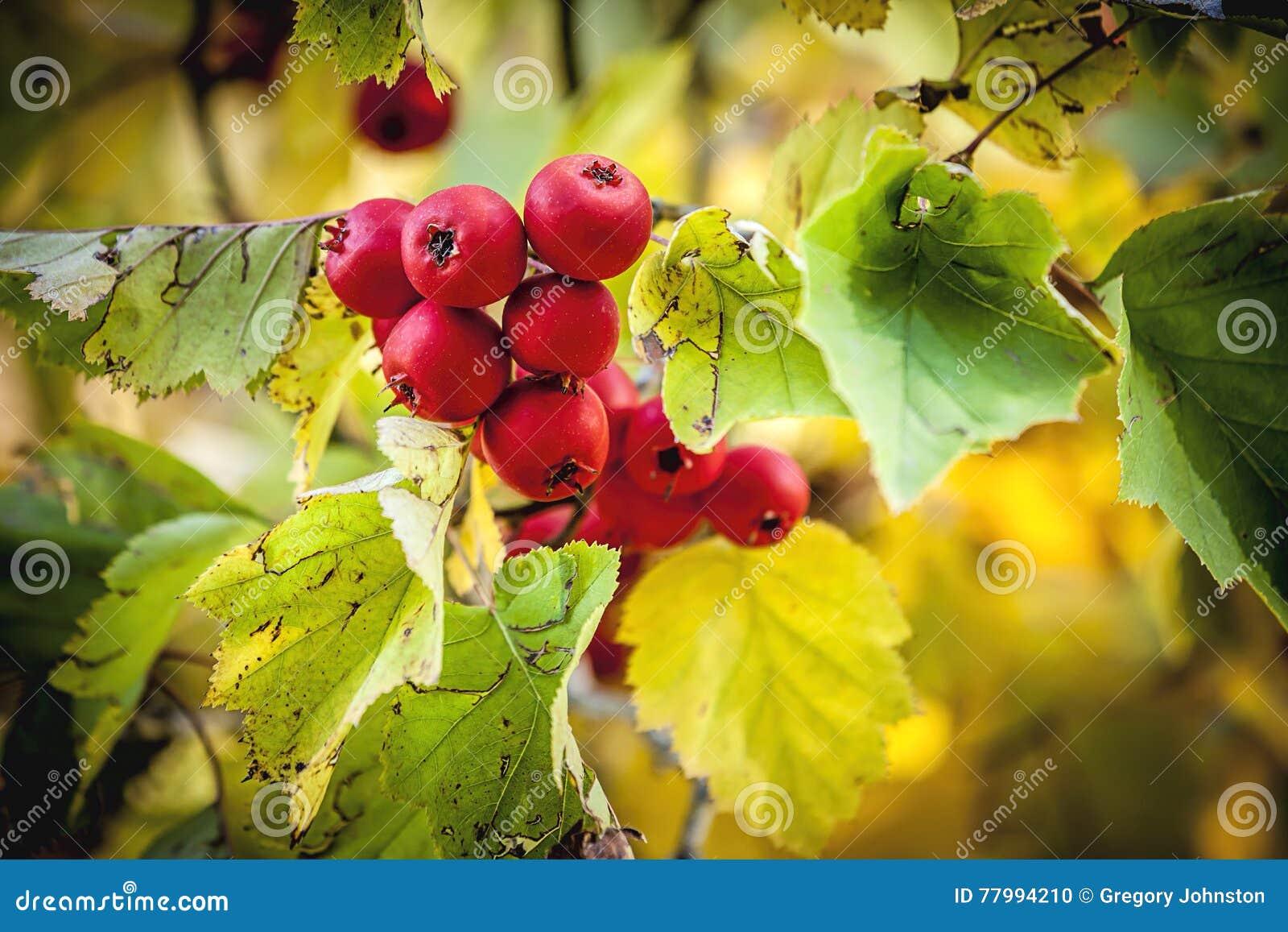 Crabapple tre w jesieni