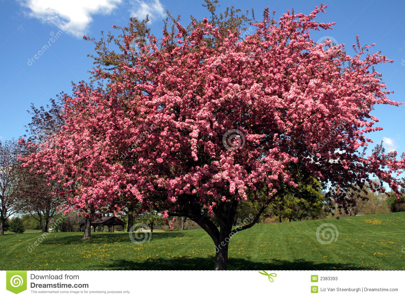 Crabapple tree stock image image of ornmental flowers 2383393 mightylinksfo