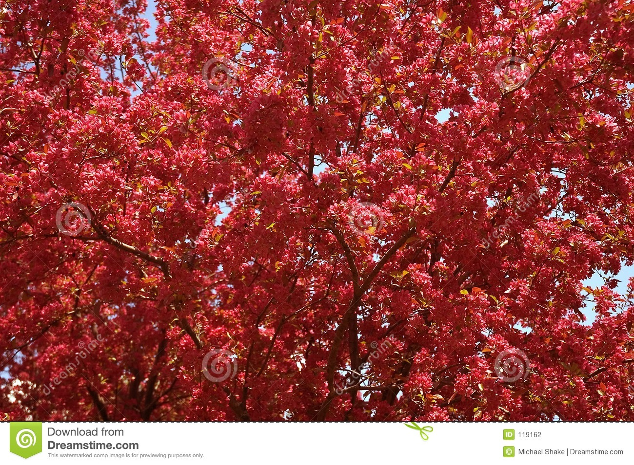 Download Crabapple Tree in Bloom stock photo. Image of close, tree - 119162