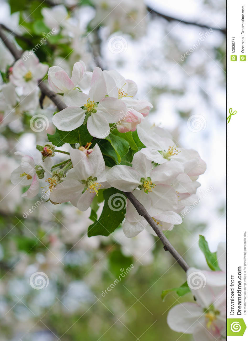 Crabapple Tree Blossoms Stock Image Image Of Outdoors 53839277