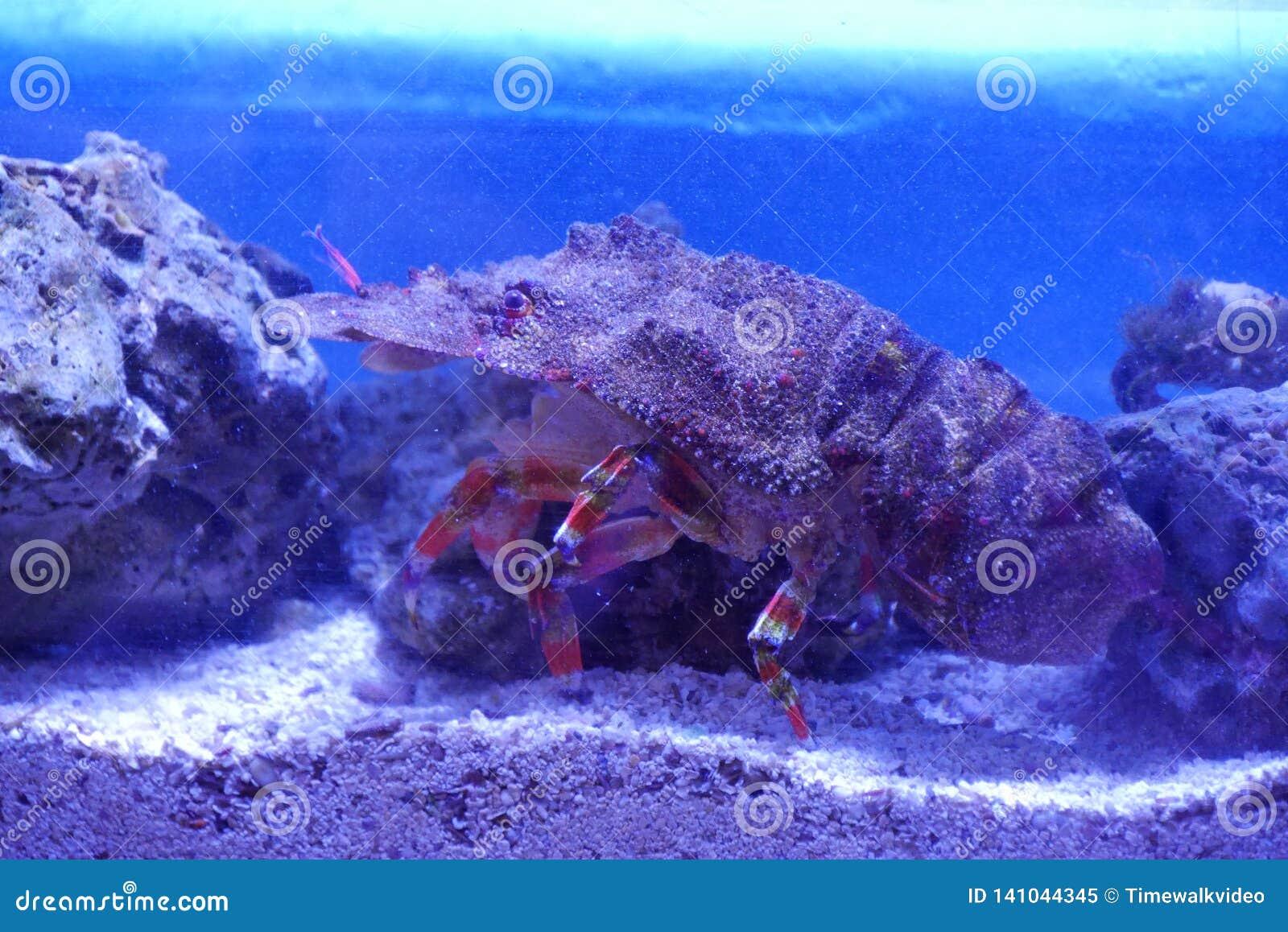Crabe camouflé comme roche dans l aquarium