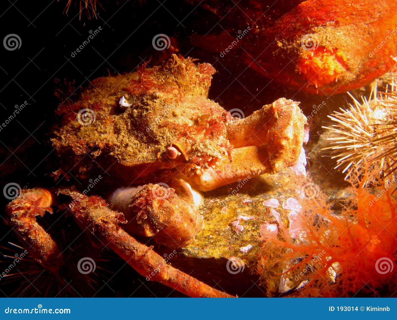 Crabe de crapaud